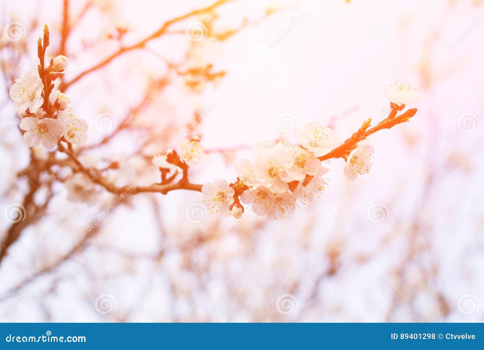 Árvore de florescência com as flores brancas bonitas