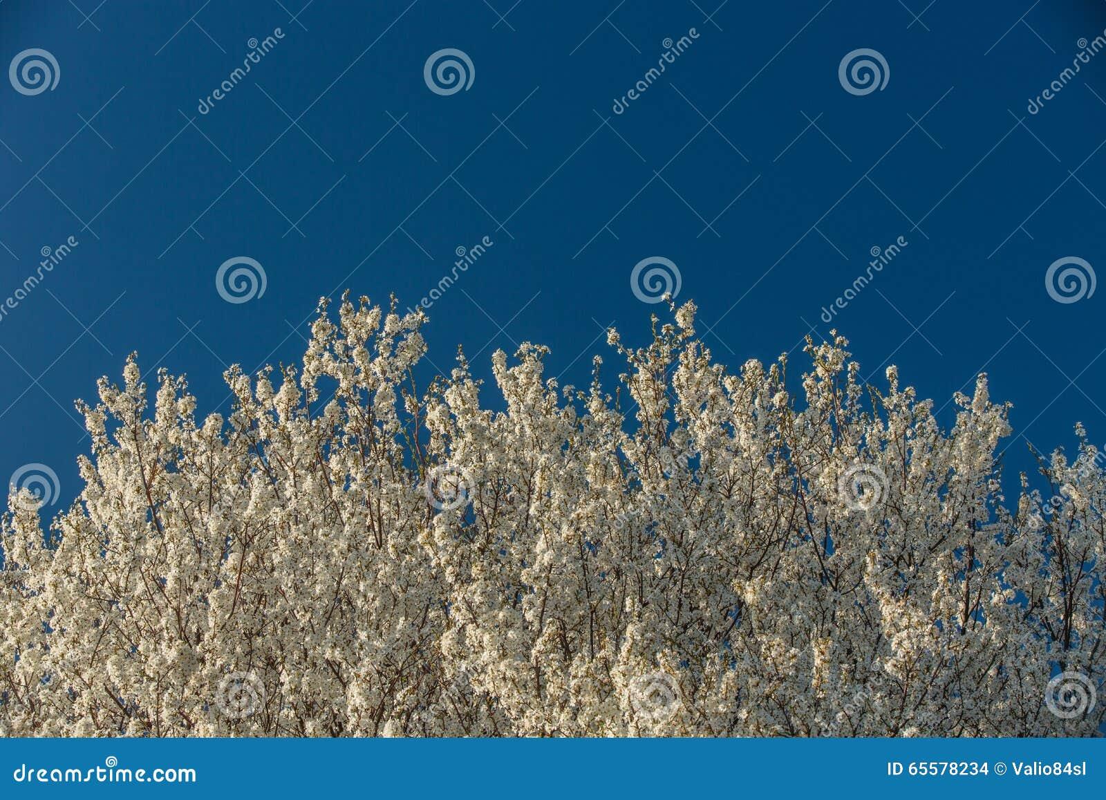 Árvore de florescência da mola contra o céu azul, fundo natural