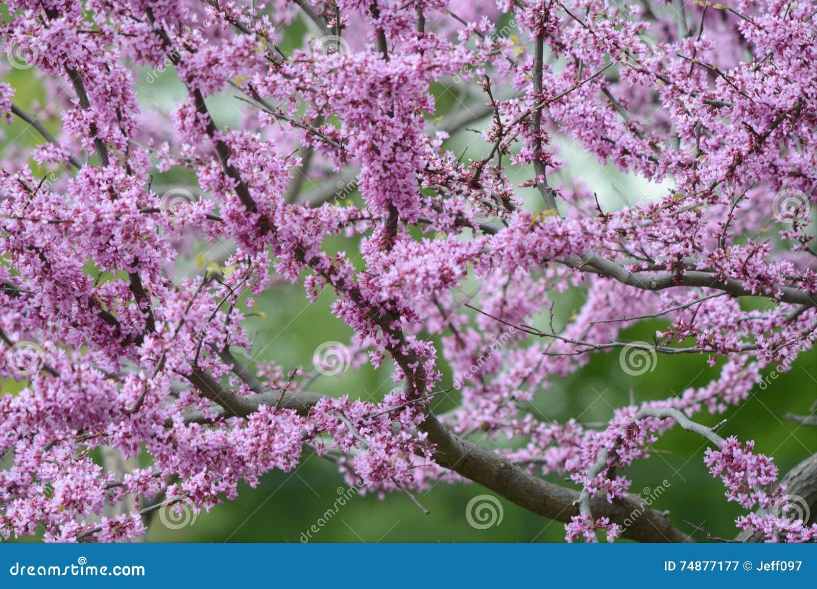Árvore de florescência de Redbud da mola