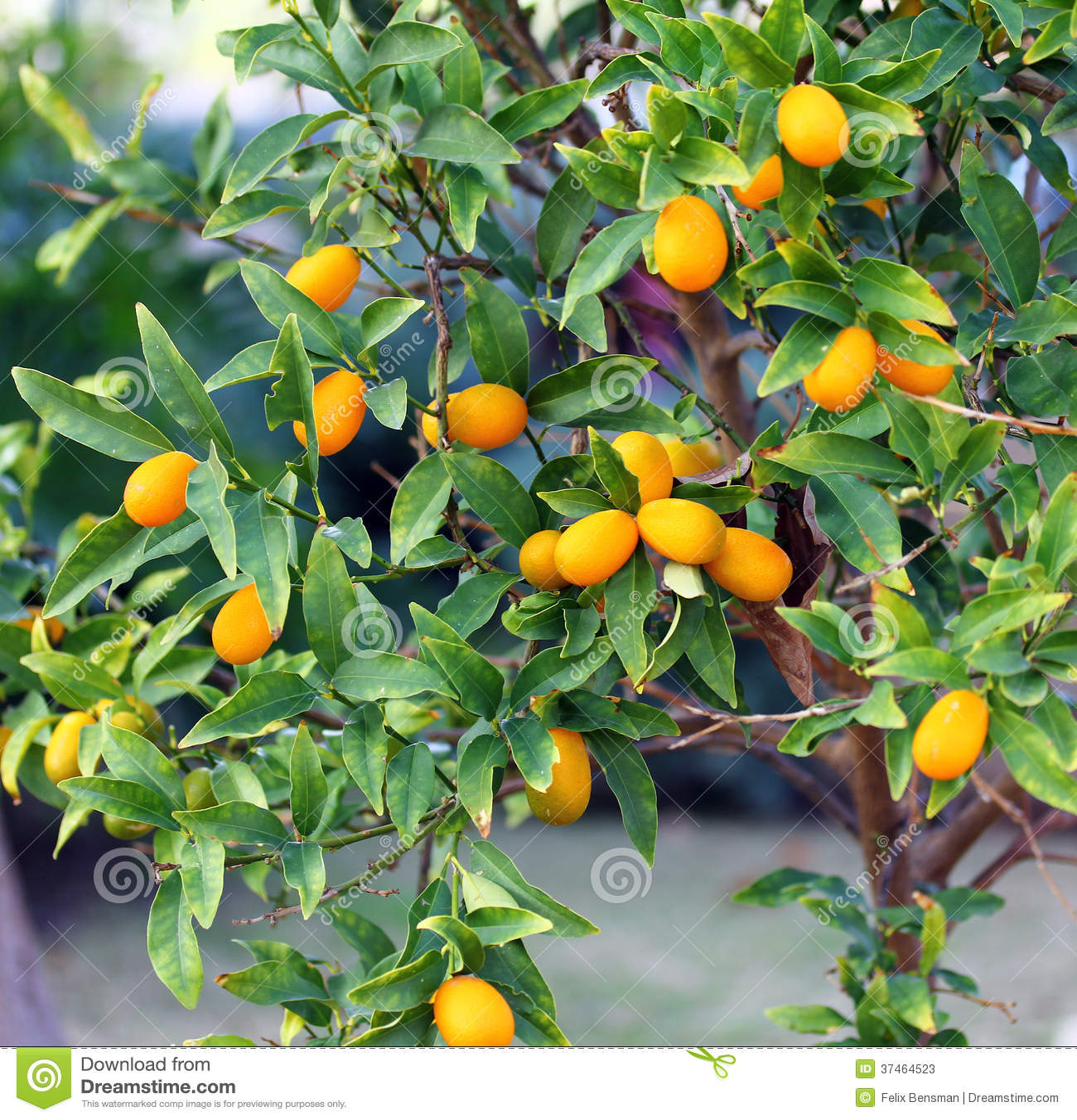 Árvore de Kumquat