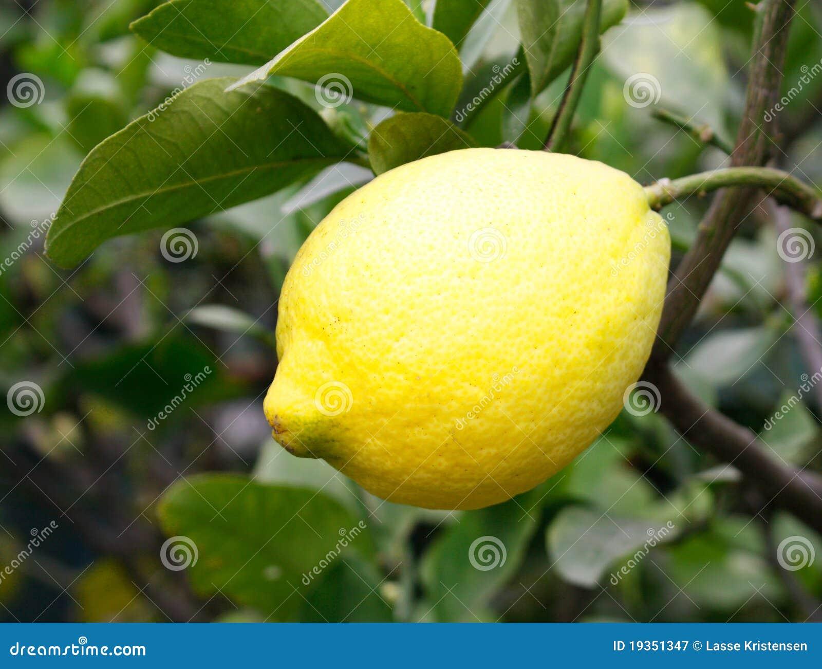 Árvore de limão