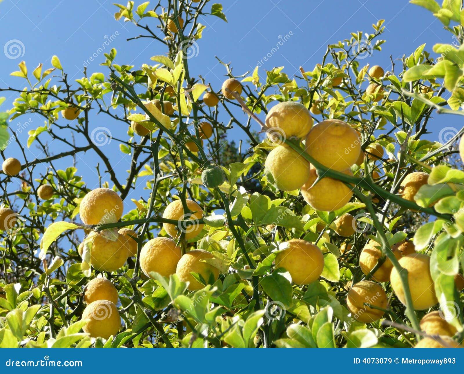 Árvore de limão com frutas em filiais