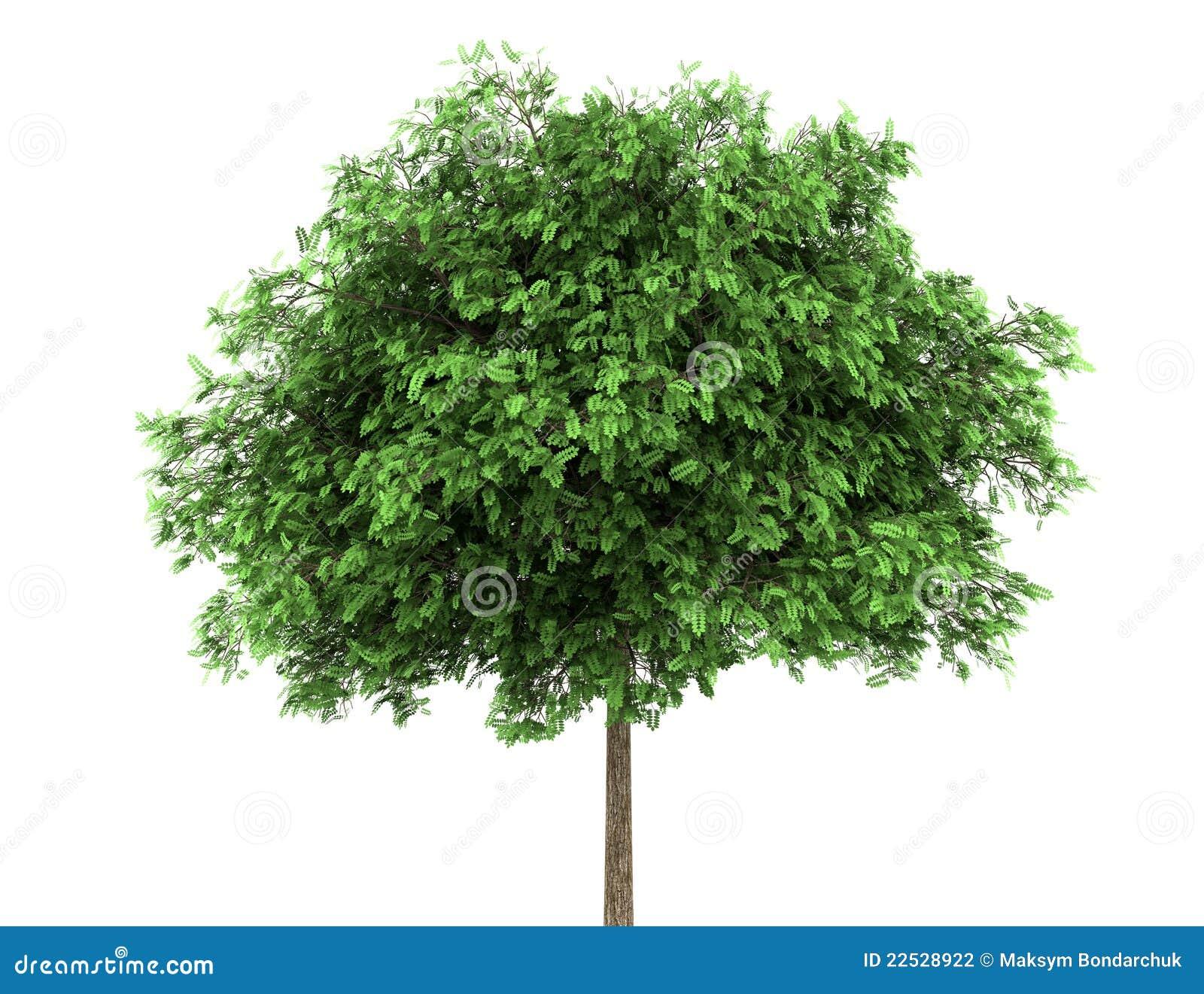Árvore de locustídeo pretos isolada no branco