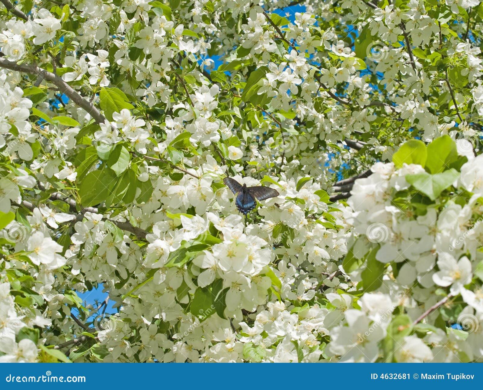A árvore de maçã da mola floresce o fundo