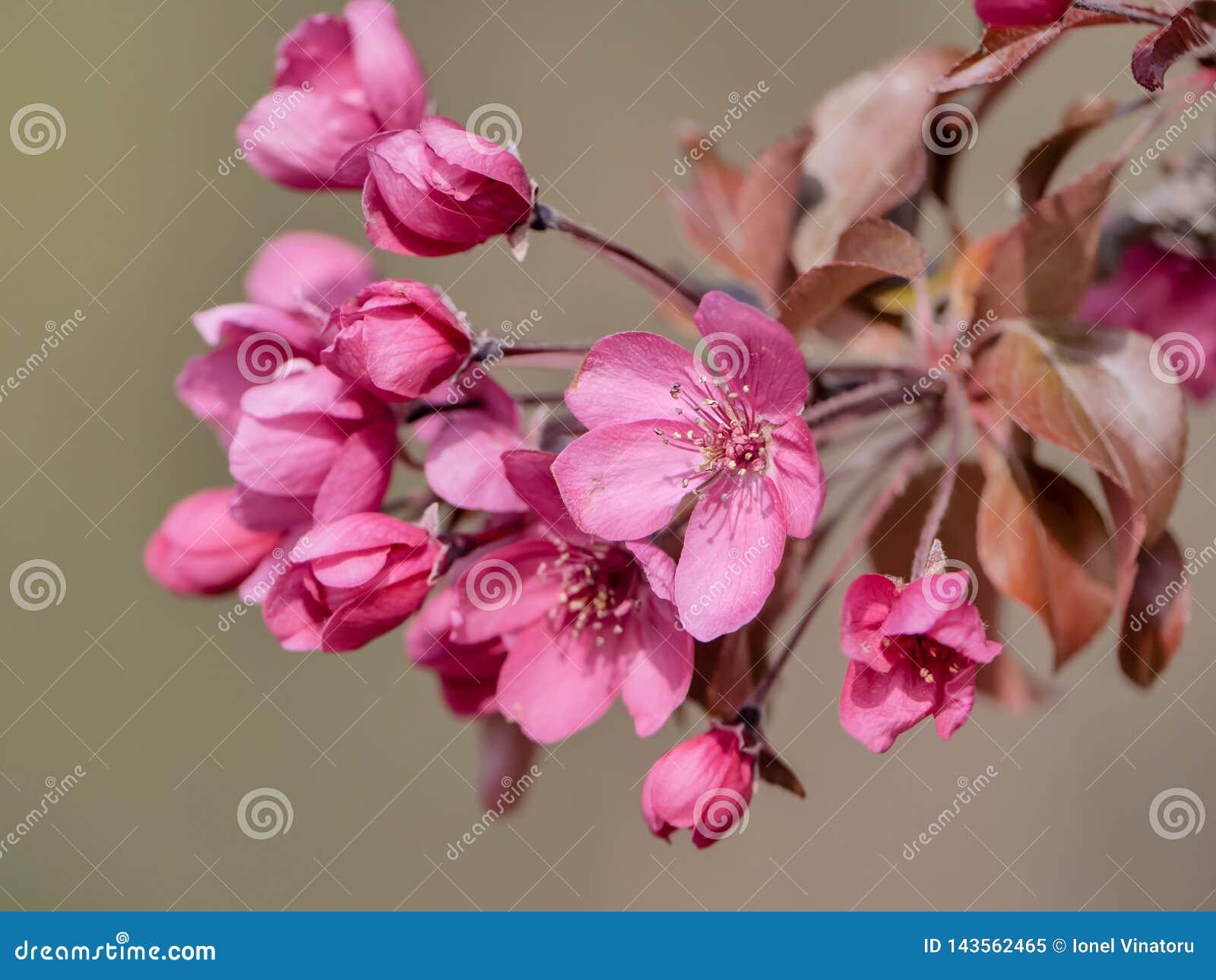 Árvore de maçã decorativa do caranguejo das flores da árvore na mola