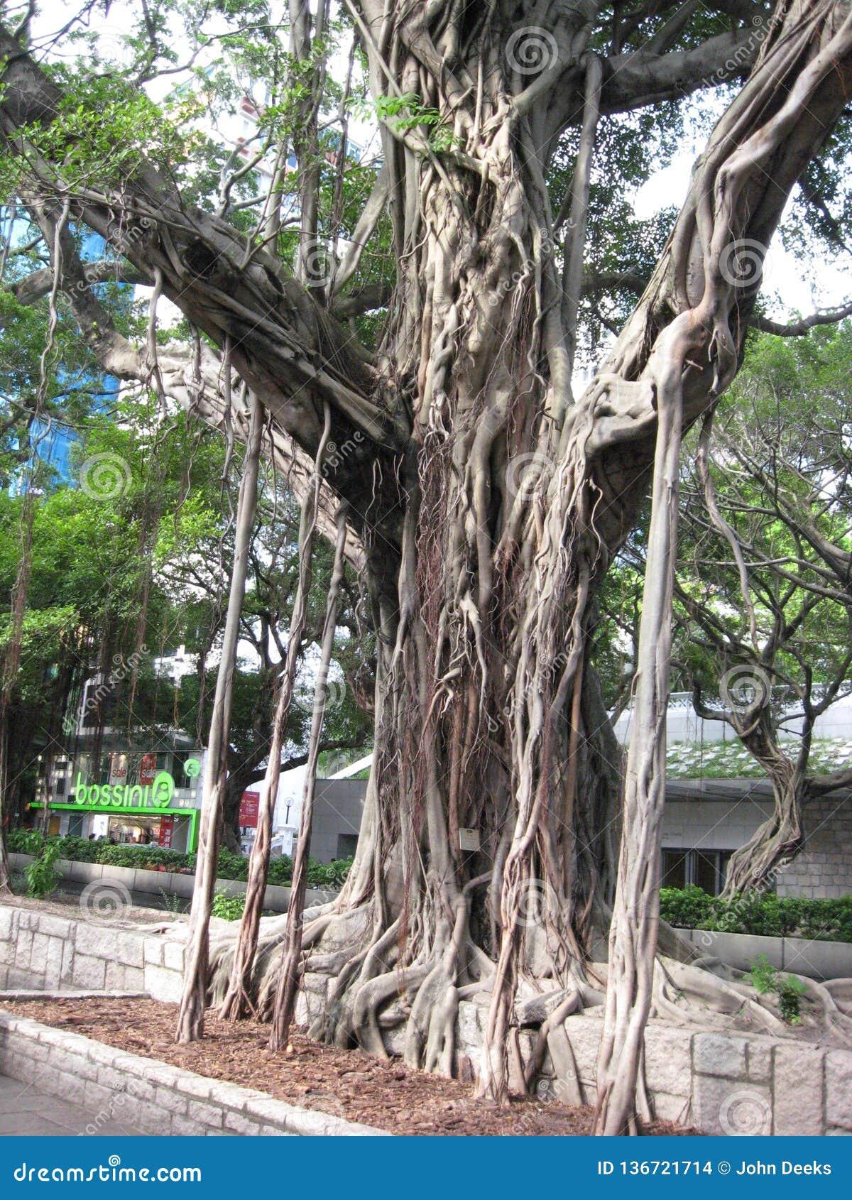 Árvore de Microcarpus do ficus, rua de Nathan, Tsim Sha Tsui
