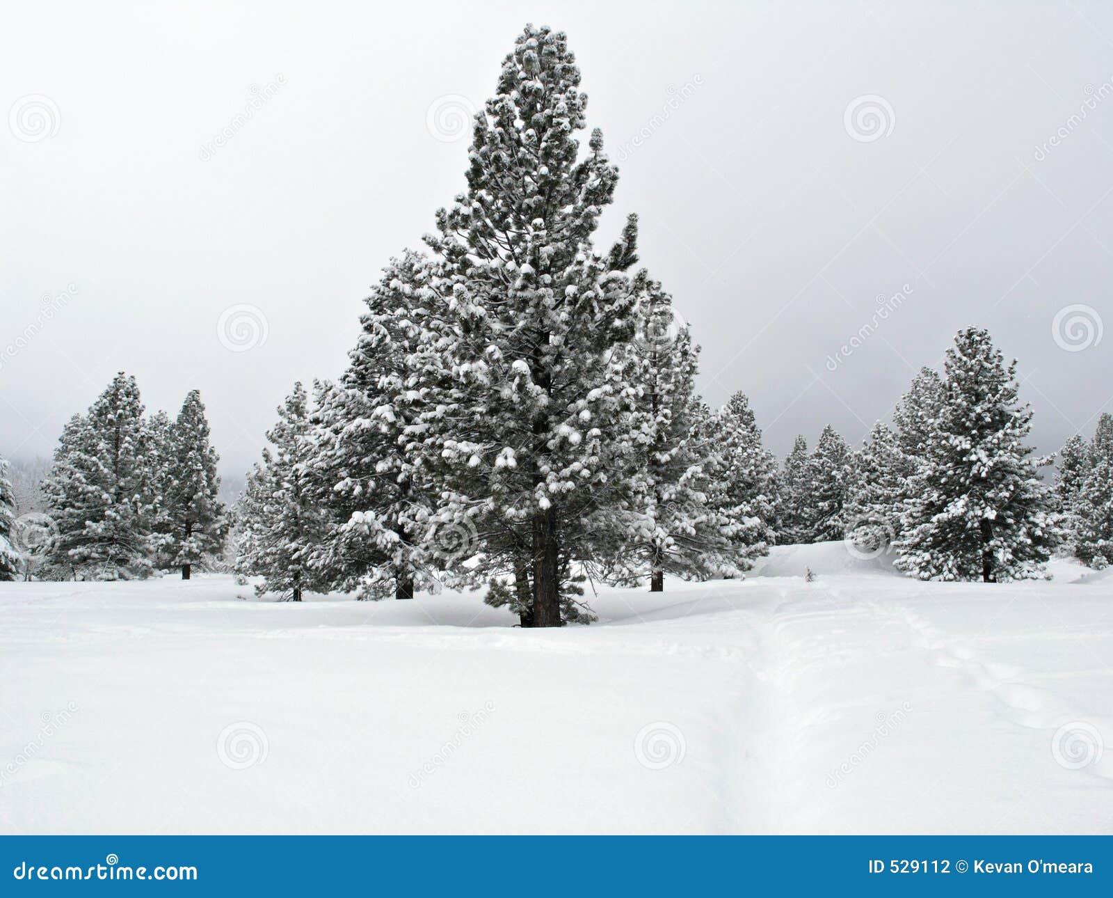 Árvore de pinho coberta com a neve