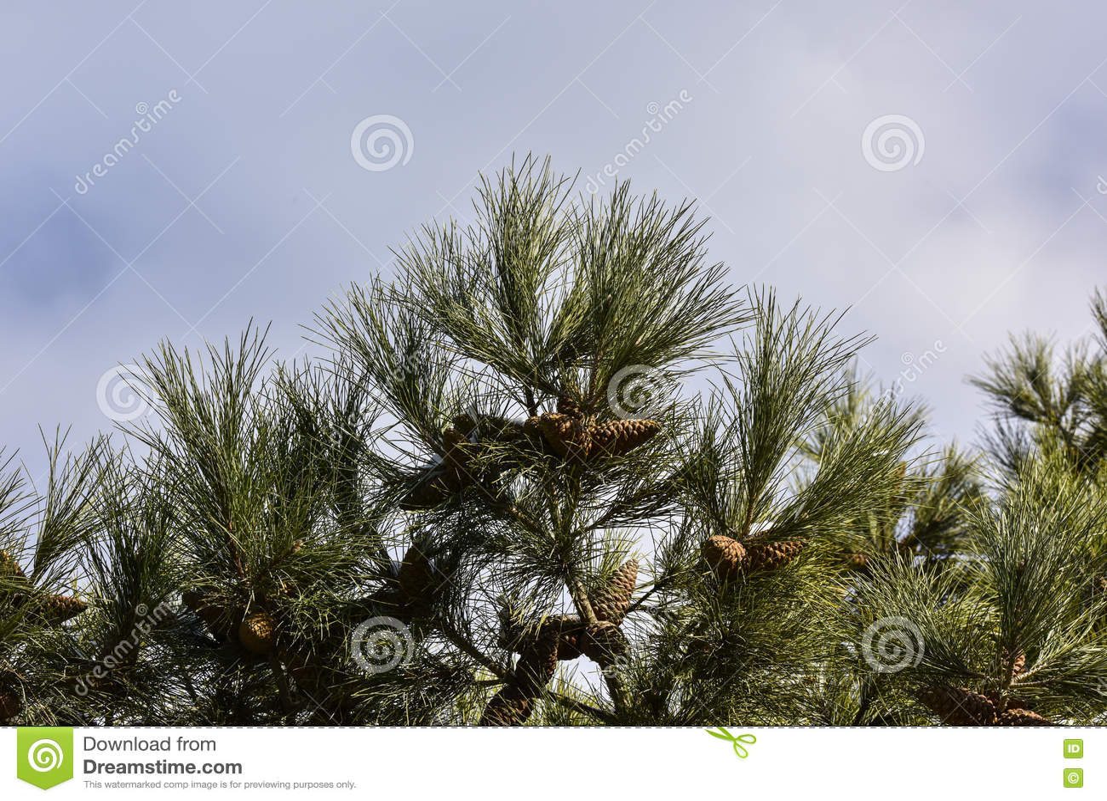 Árvore de pinho no fundo do céu