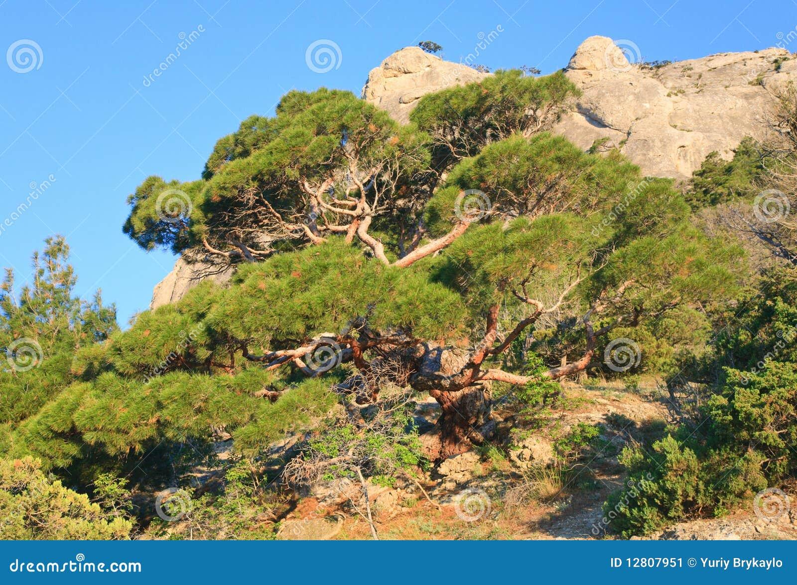 Árvore de pinho no monte da montanha do verão (Crimeia)