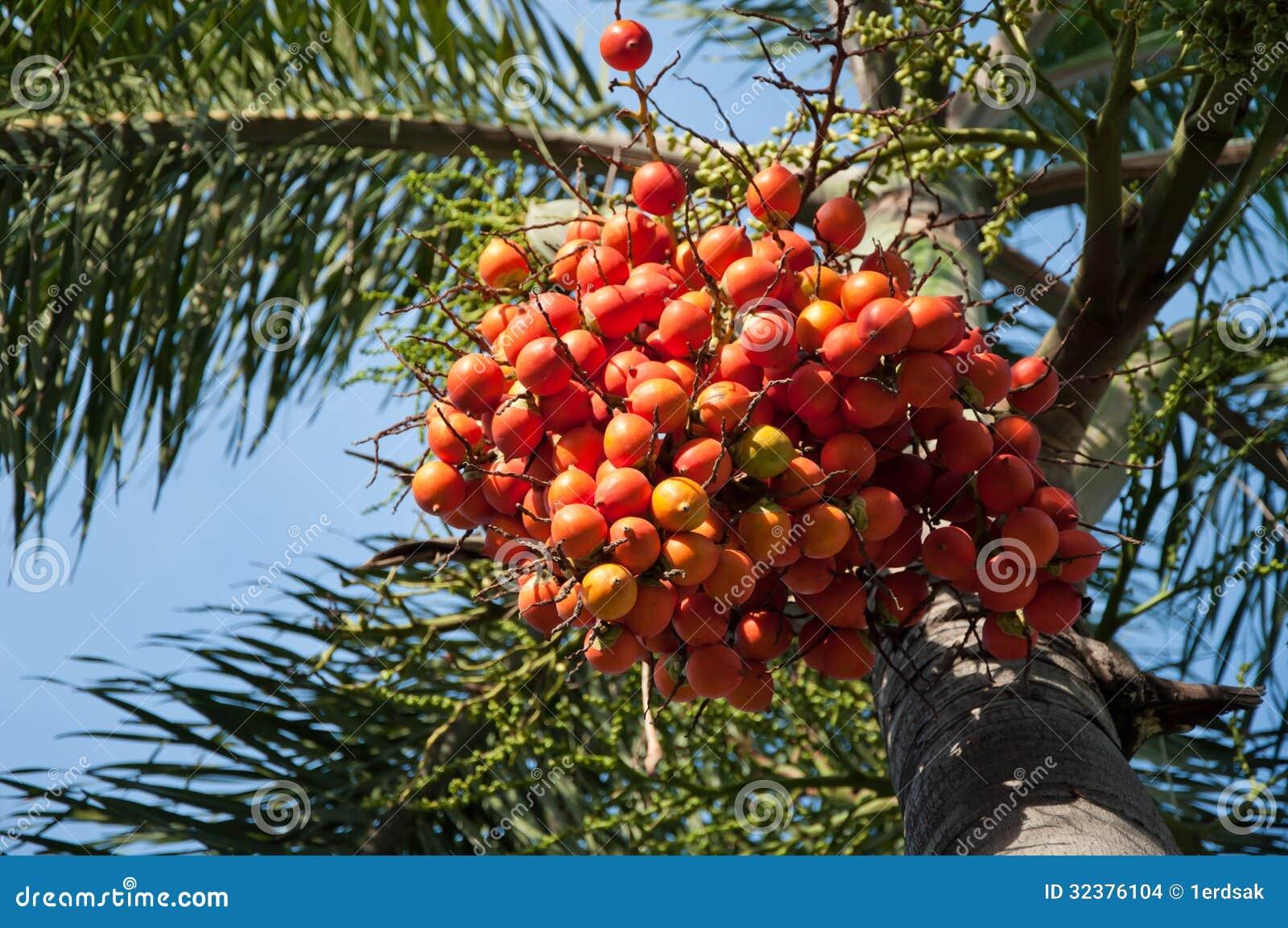 Árvore de porca da palma
