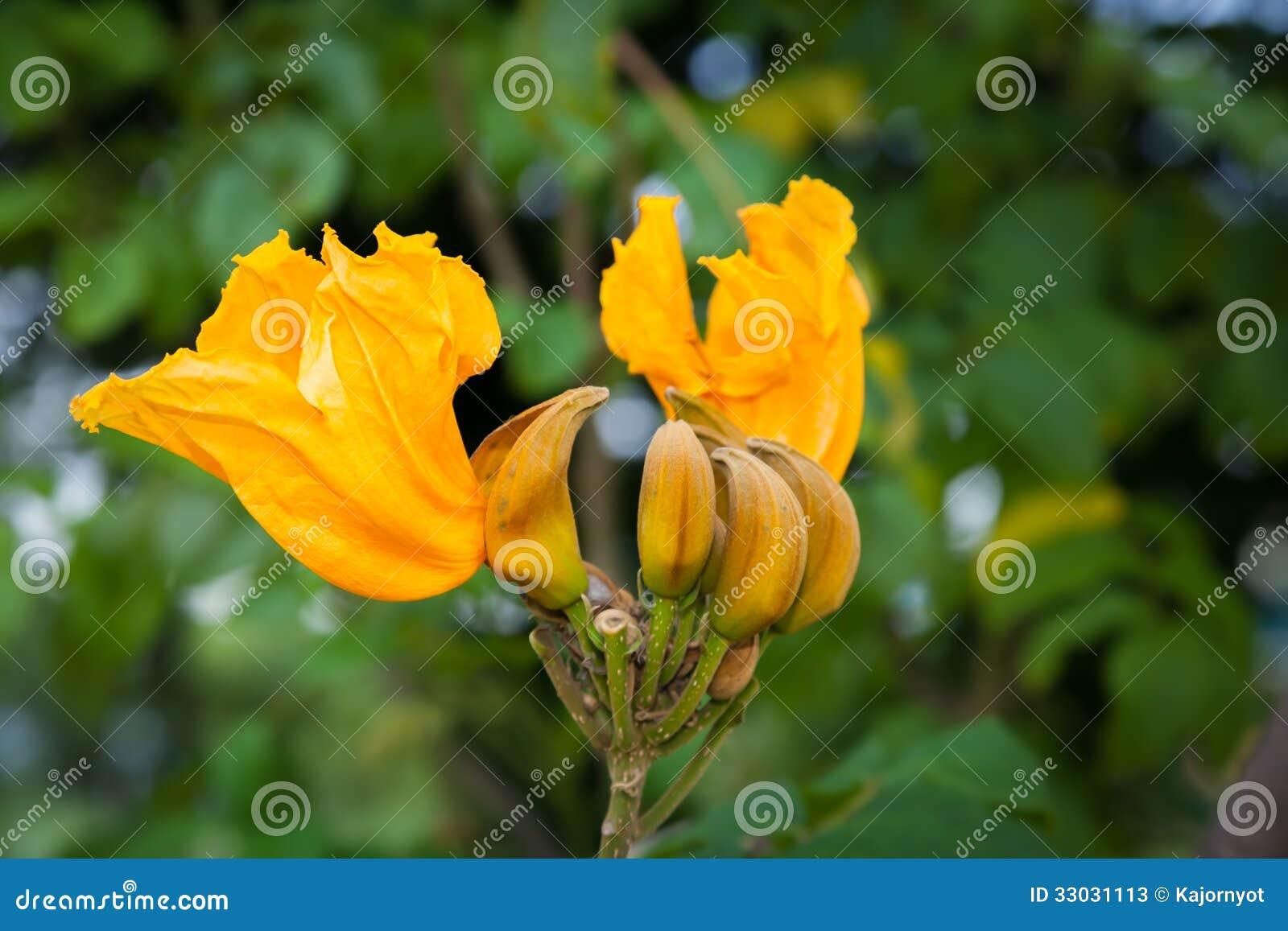 Árvore de tulipa africana
