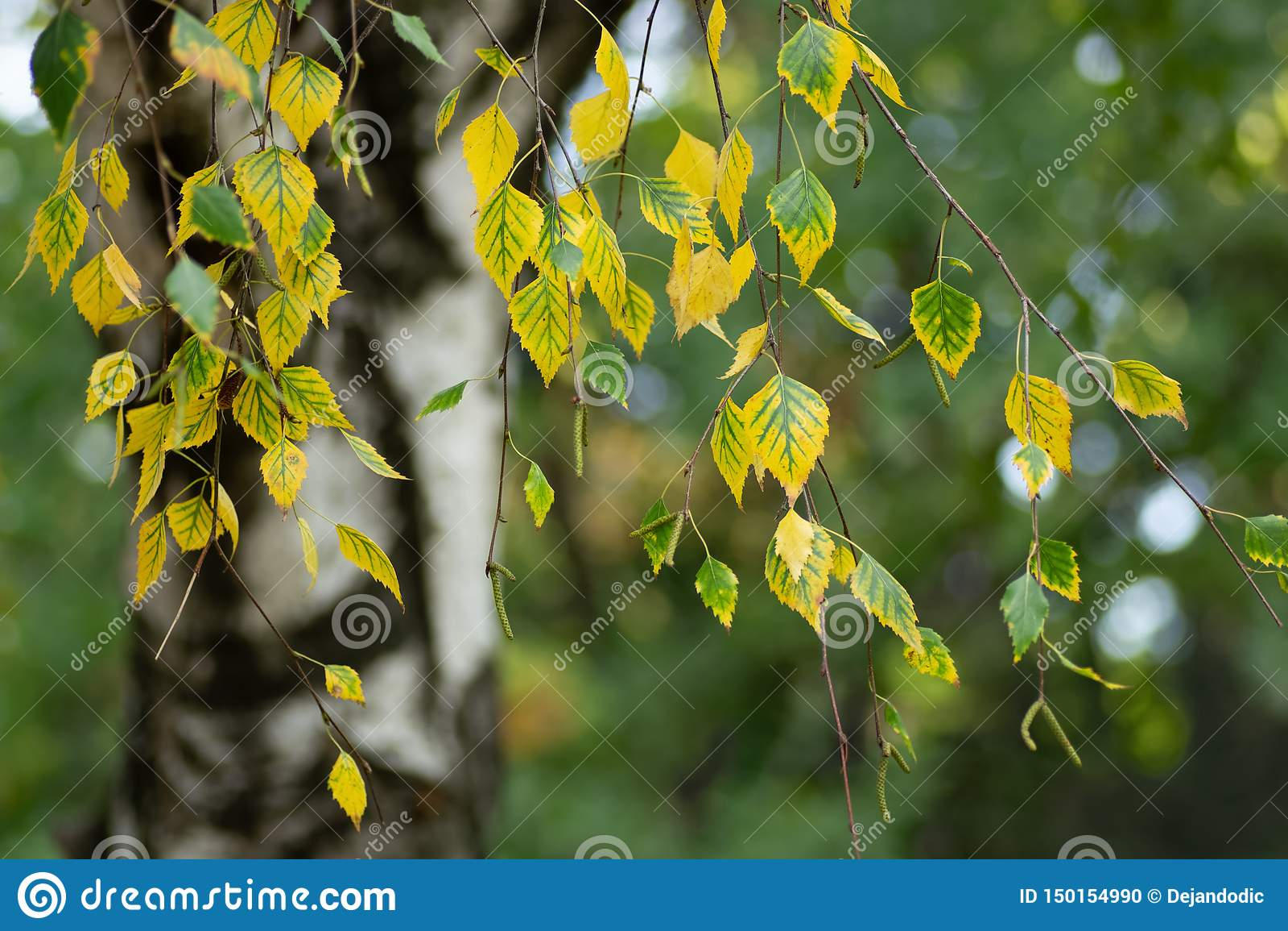 A árvore de vidoeiro sae no outono