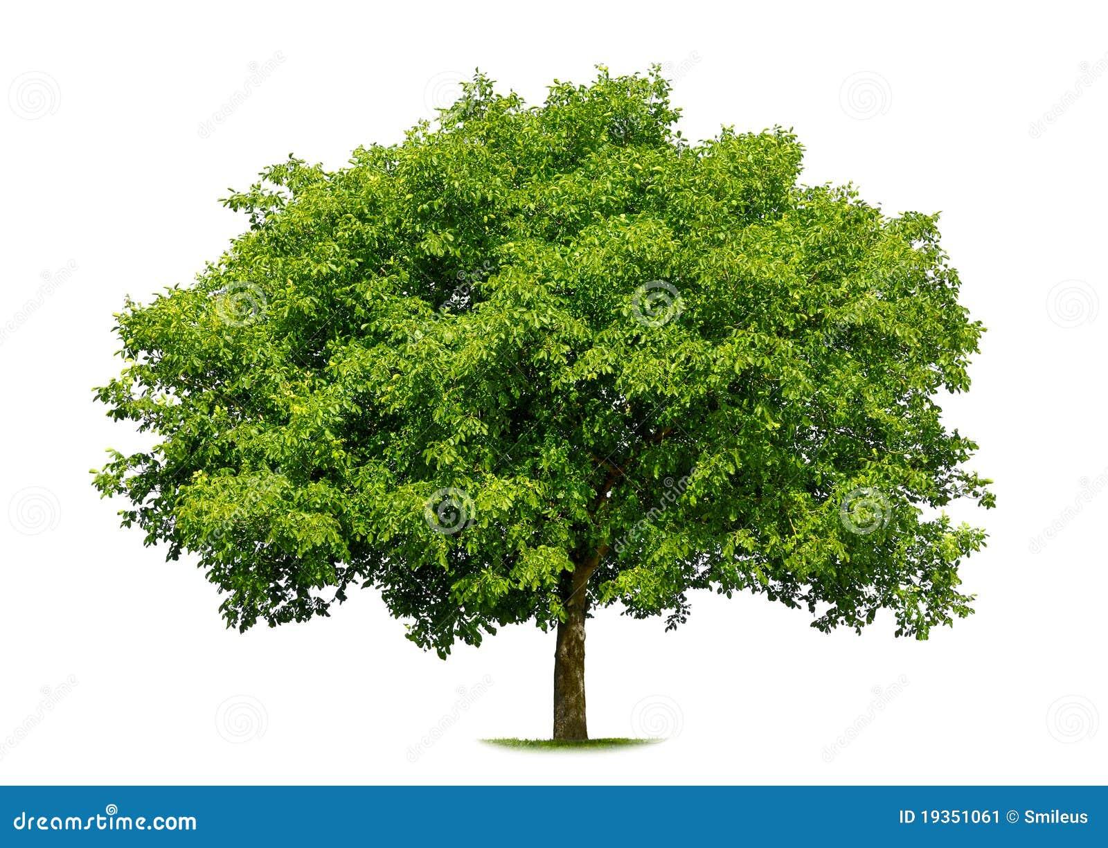 Árvore deciduous bonita no branco