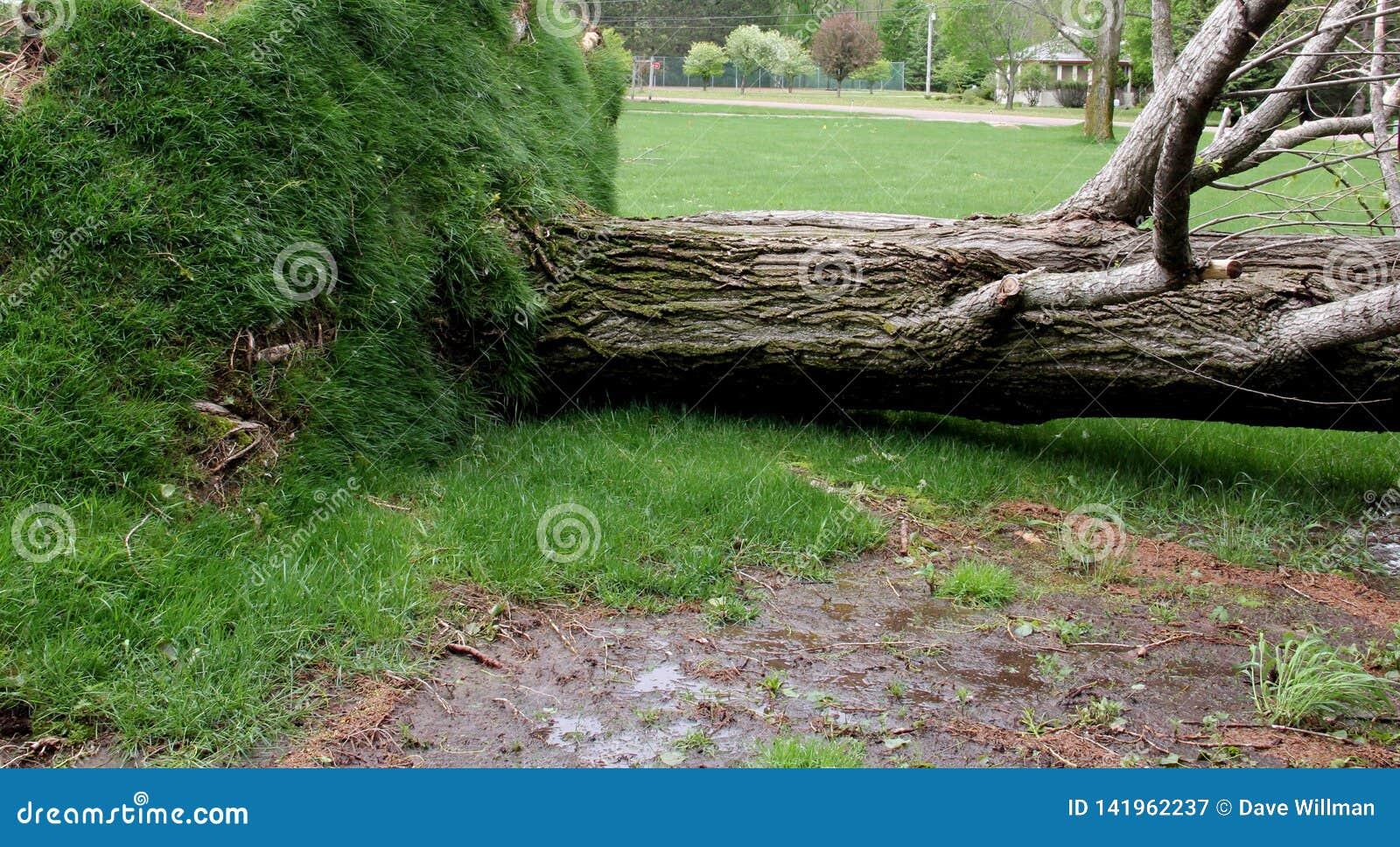 Árvore desarraigada pela tempestade severa do vento
