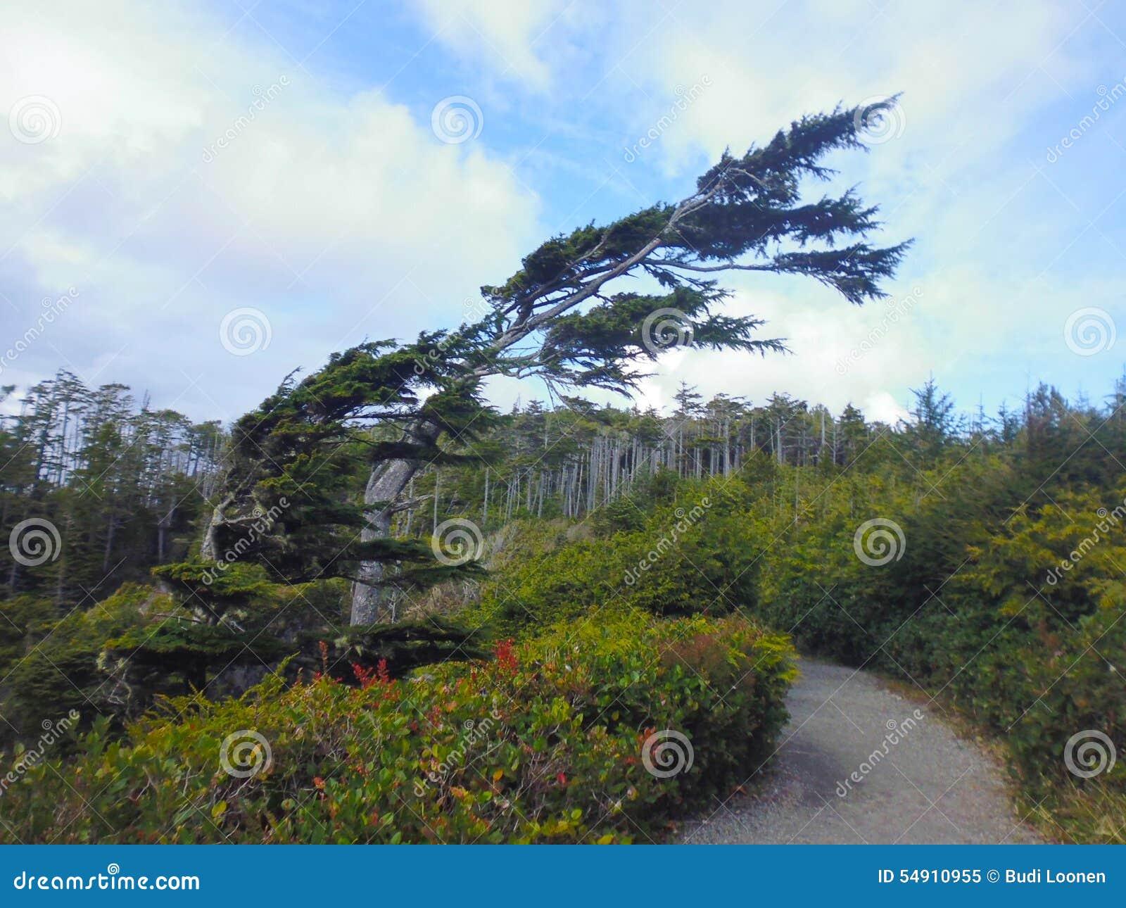 A árvore deu forma pelo vento, fuga pacífica selvagem, ilha de Vancôver