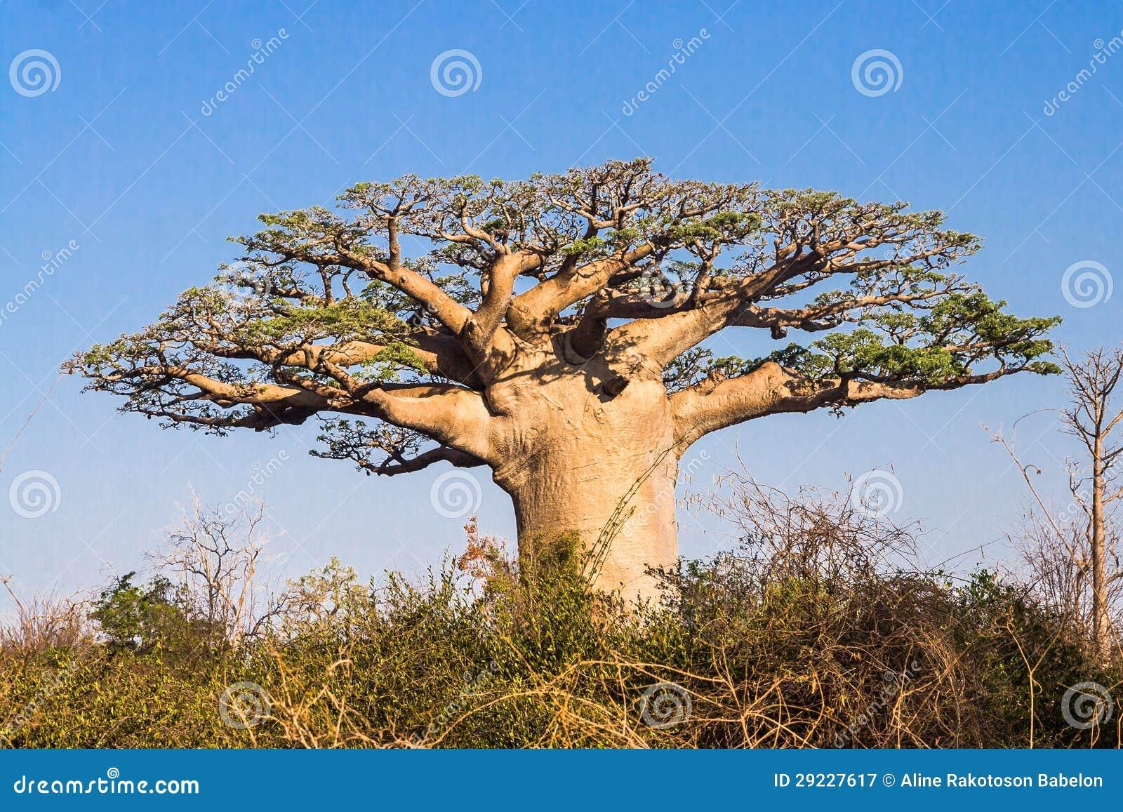 Download Árvore do Baobab imagem de stock. Imagem de madagascar - 29227617