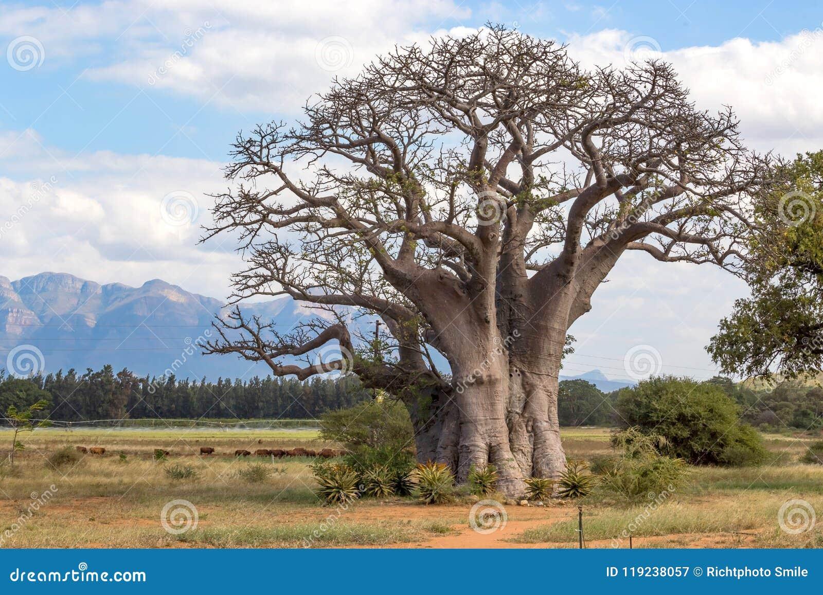 Árvore do Baobab com Mountain View no fundo