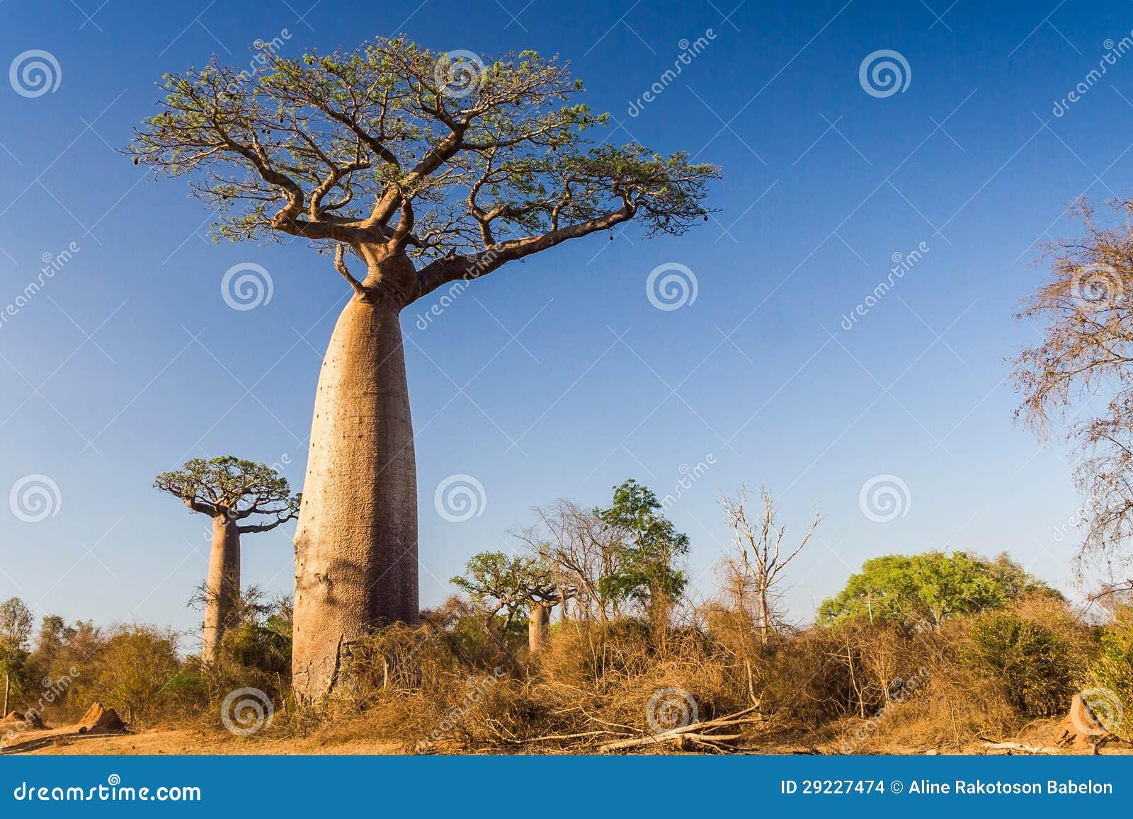 Download Árvore Do Baobab, Madagascar Foto de Stock - Imagem de filial, grande: 29227474