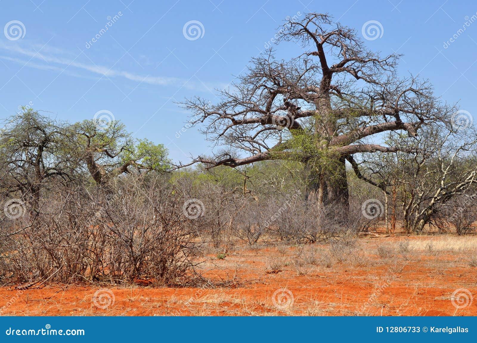 Árvore do Baobab na paisagem africana