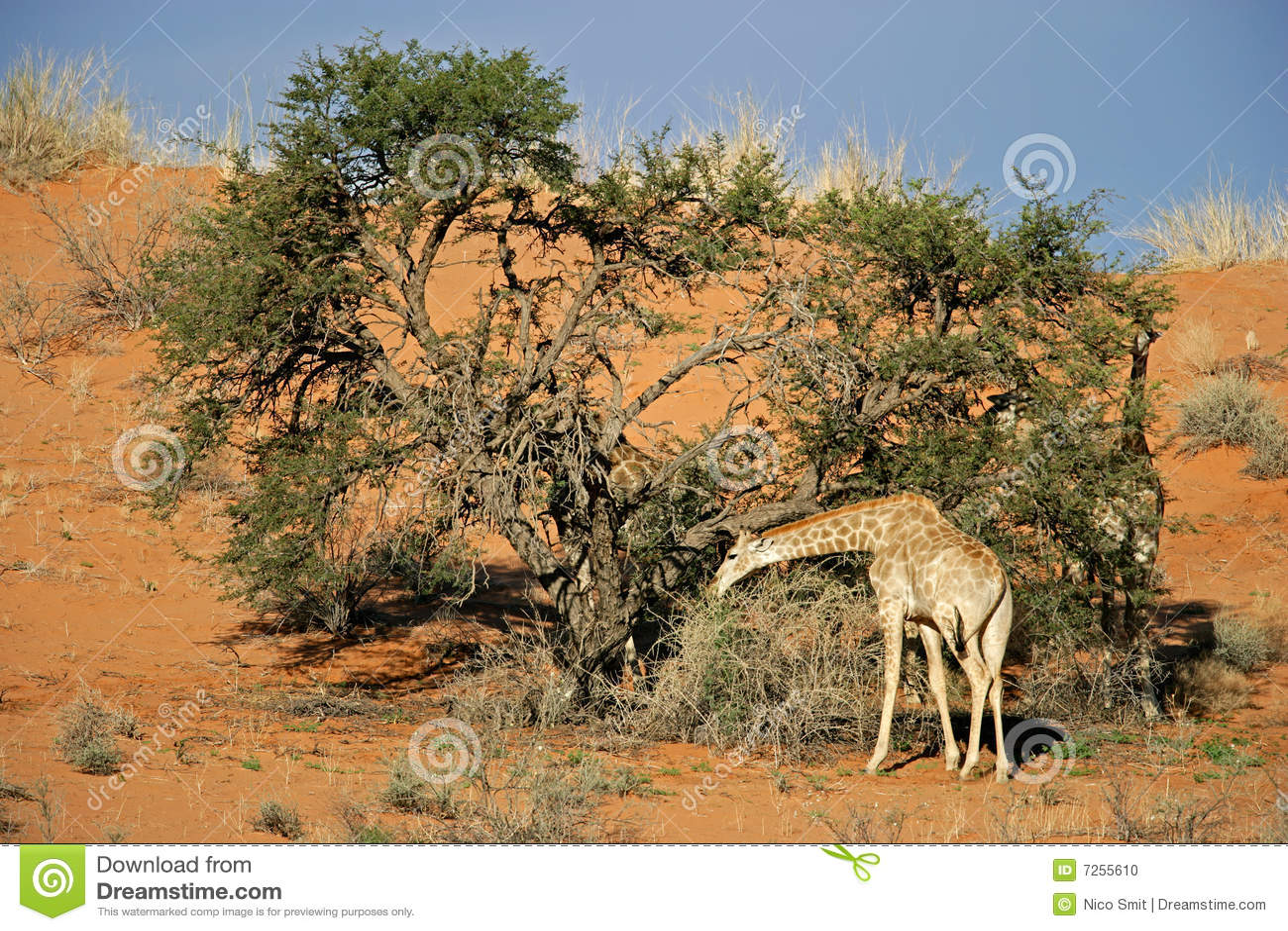 Árvore do Giraffe e da acácia