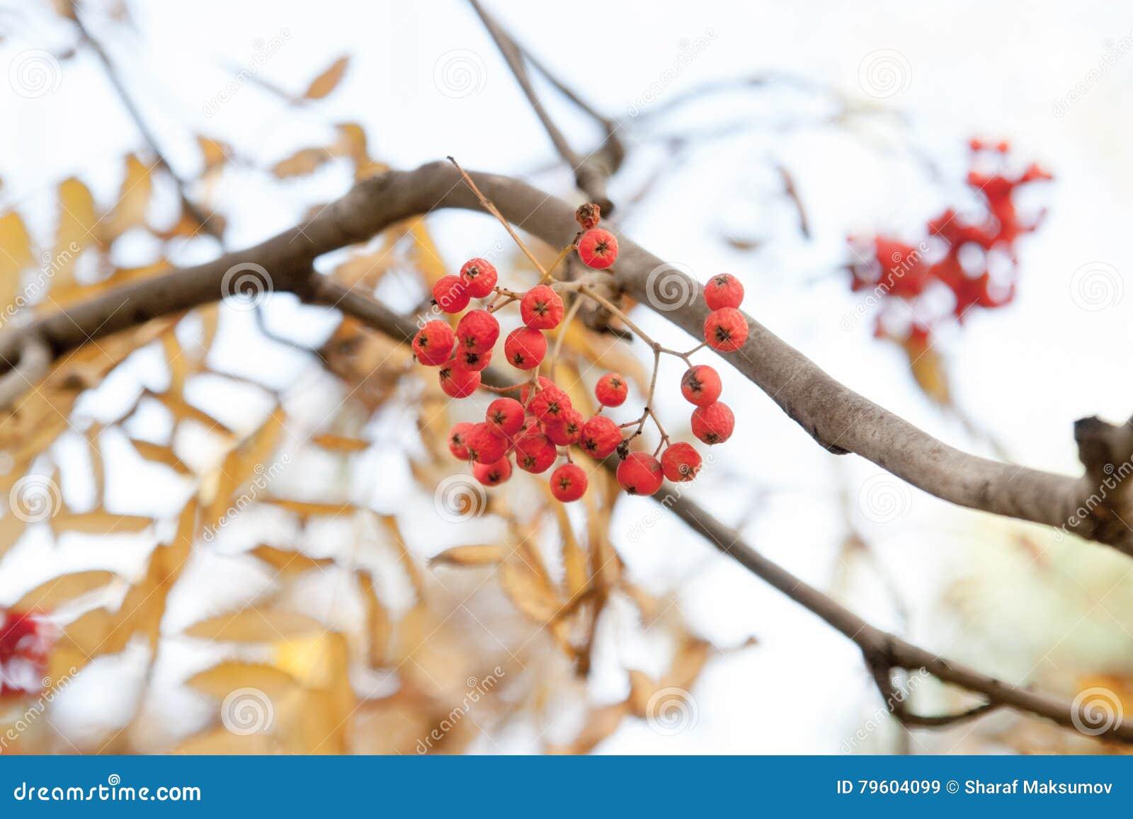Árvore do outono com bagas vermelhas e as folhas coloridas Foco seletivo