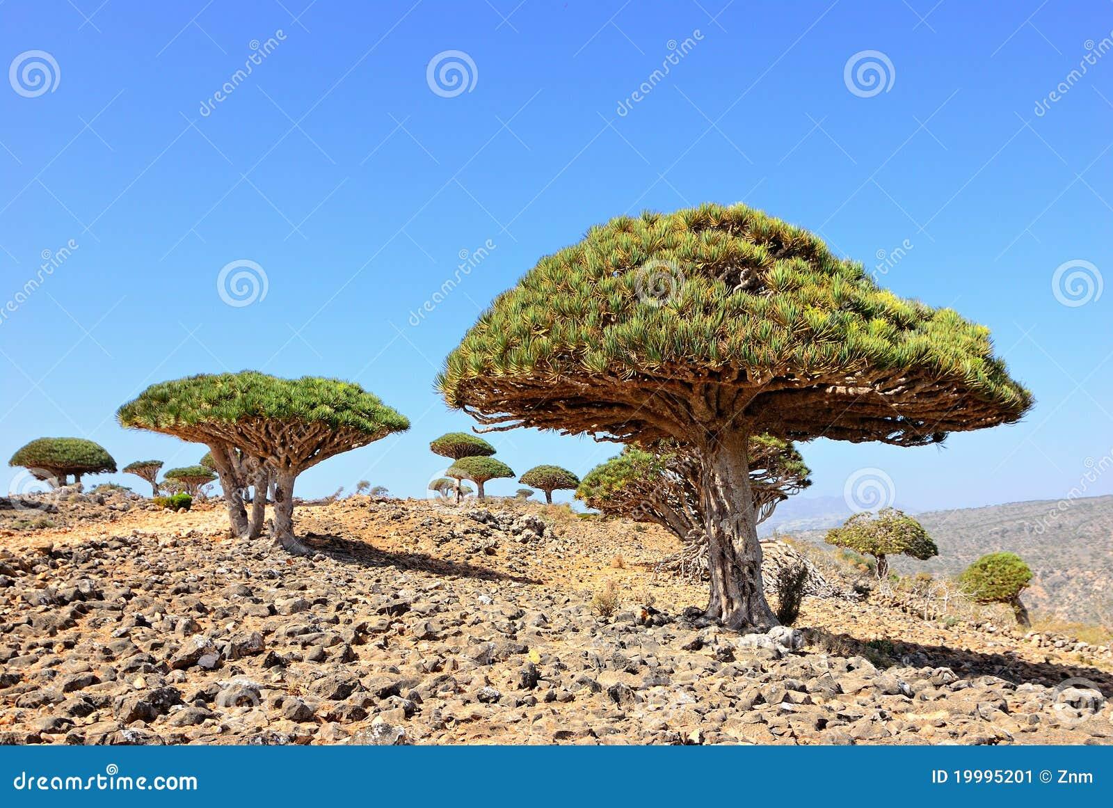 Árvore do sangue de dragão