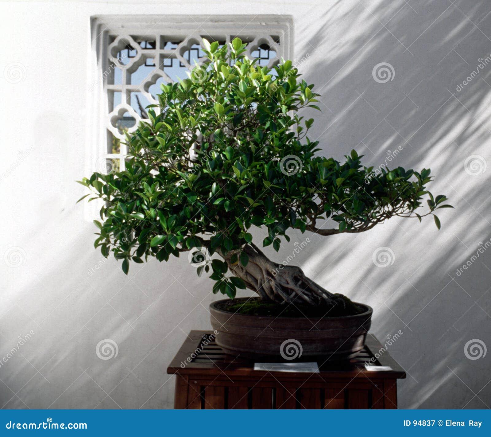 Árvore dos bonsais