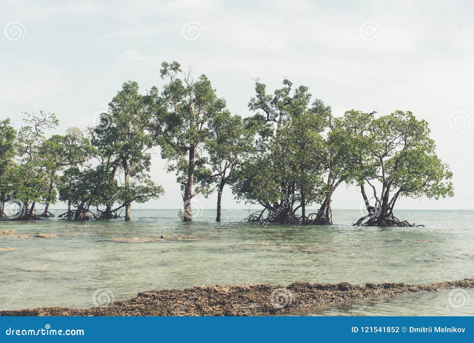 Árvore dos manguezais na praia de Vijaynagar na ilha de Havelock,