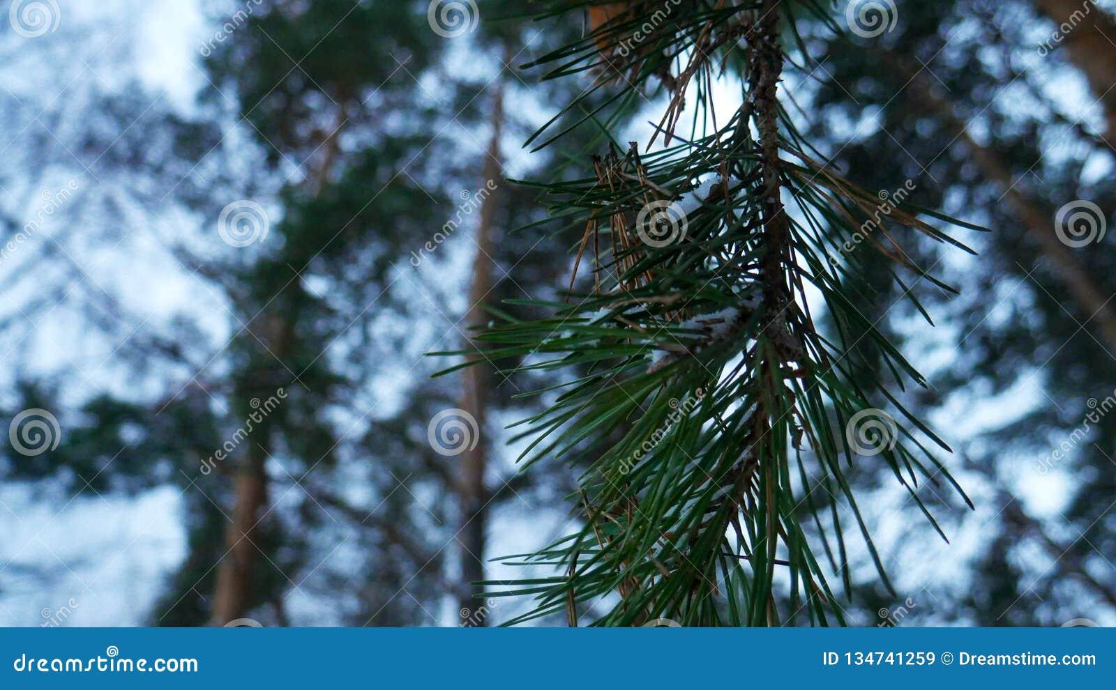 Árvore dos ramos do pinho no close-up da floresta do inverno