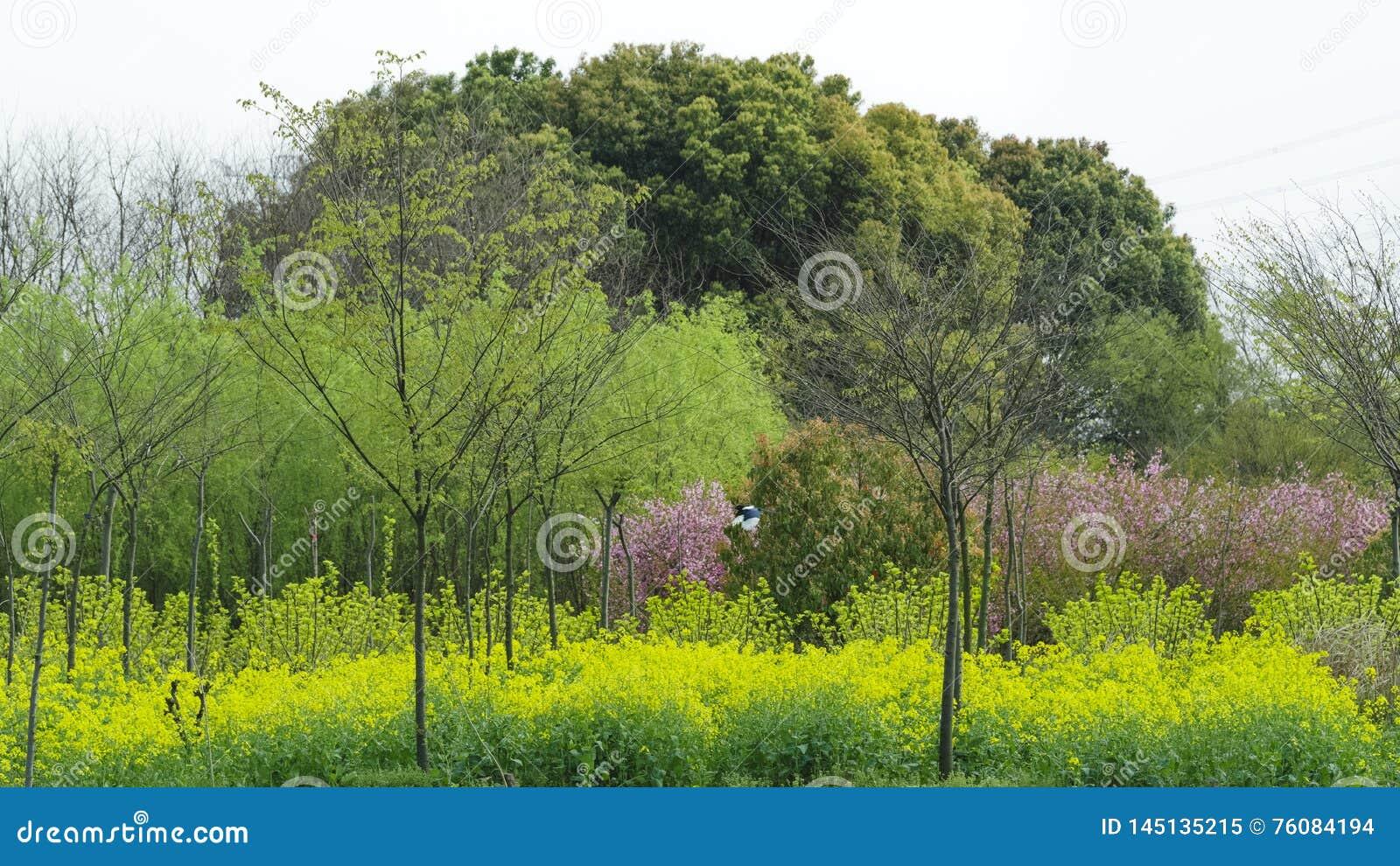 Árvore grande após a colza e o sargo