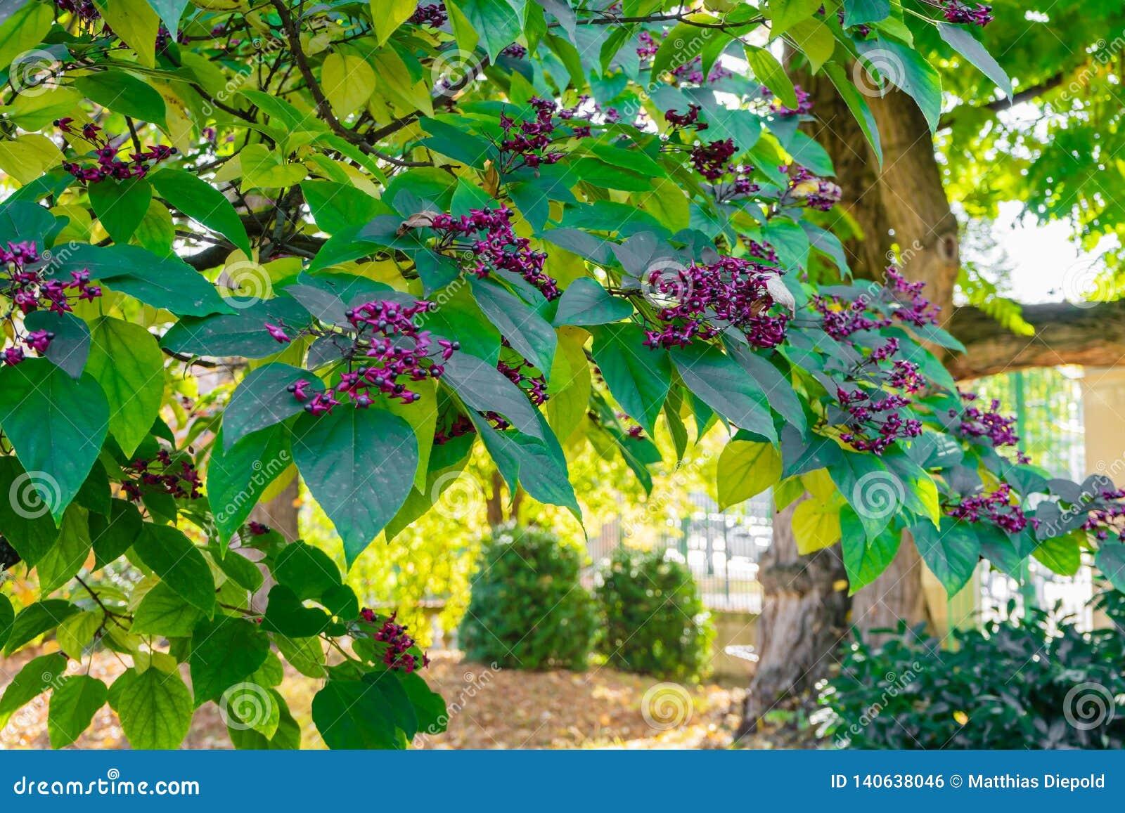 Árvore indiana do beutifull da raiz da seta