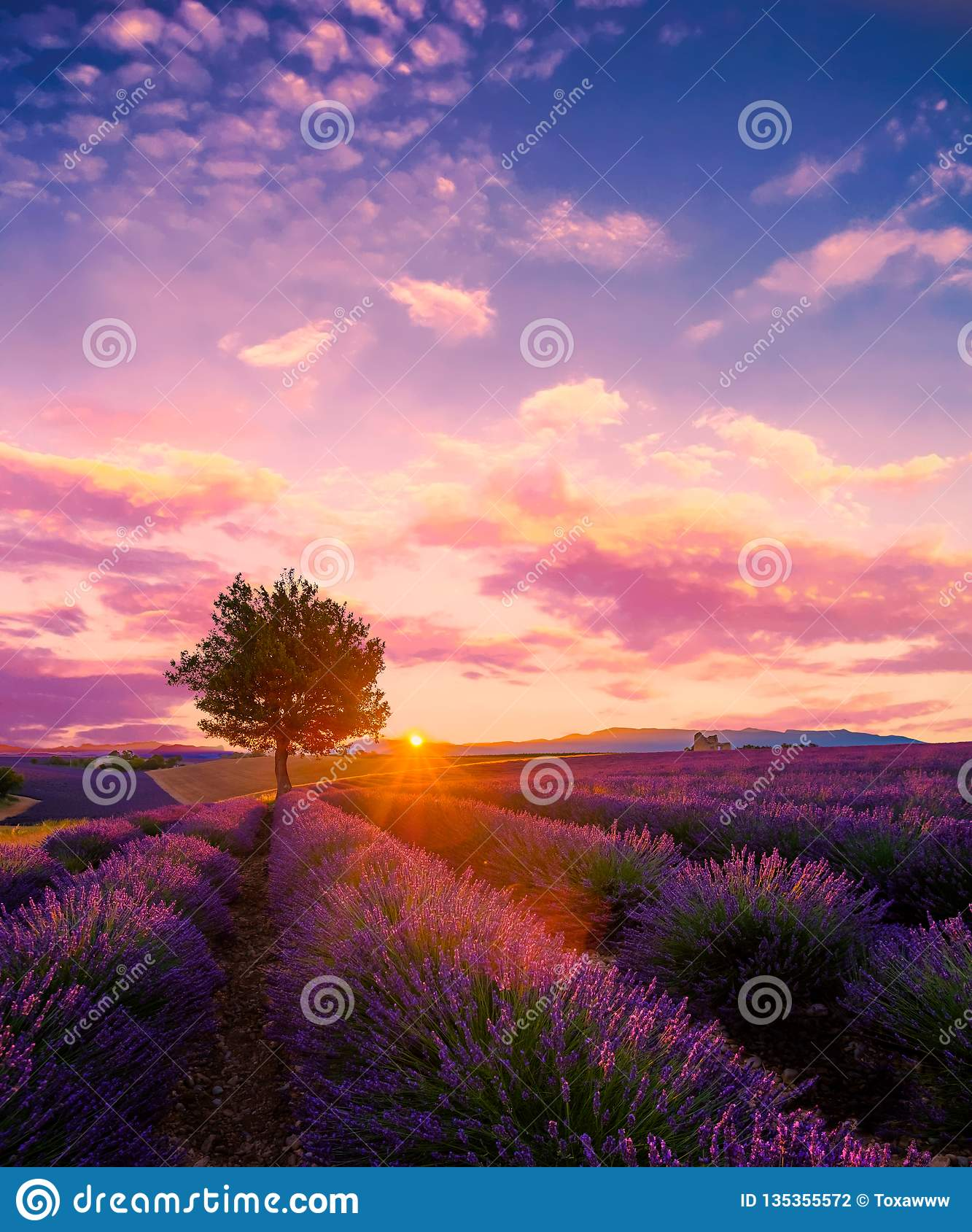 Árvore no campo da alfazema no por do sol em Provence