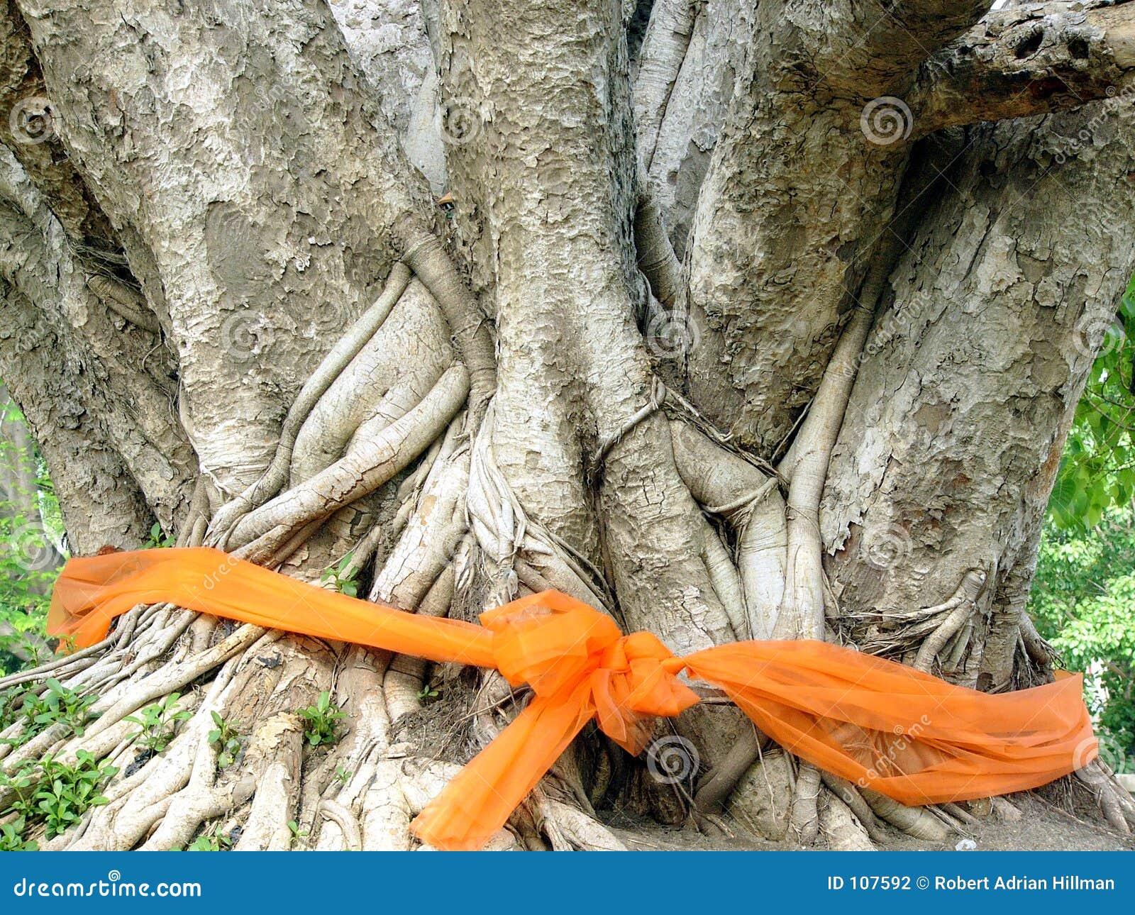 Árvore ordenada de Bodhi