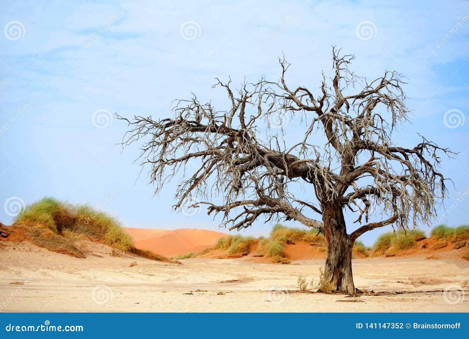 Árvore secada da acácia do camelo em dunas de areia alaranjadas e no fundo brilhante do céu azul, Namíbia, África meridional