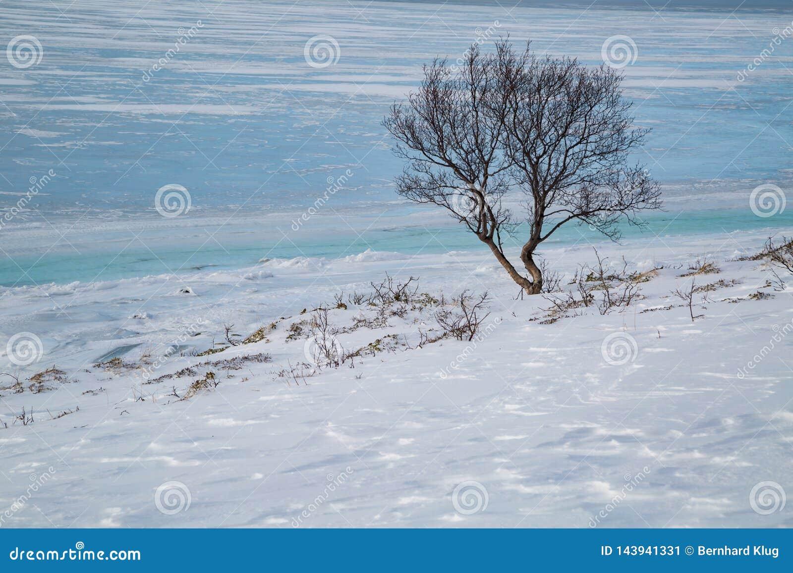 Árvore solitária na costa de um fiorde congelado em Noruega