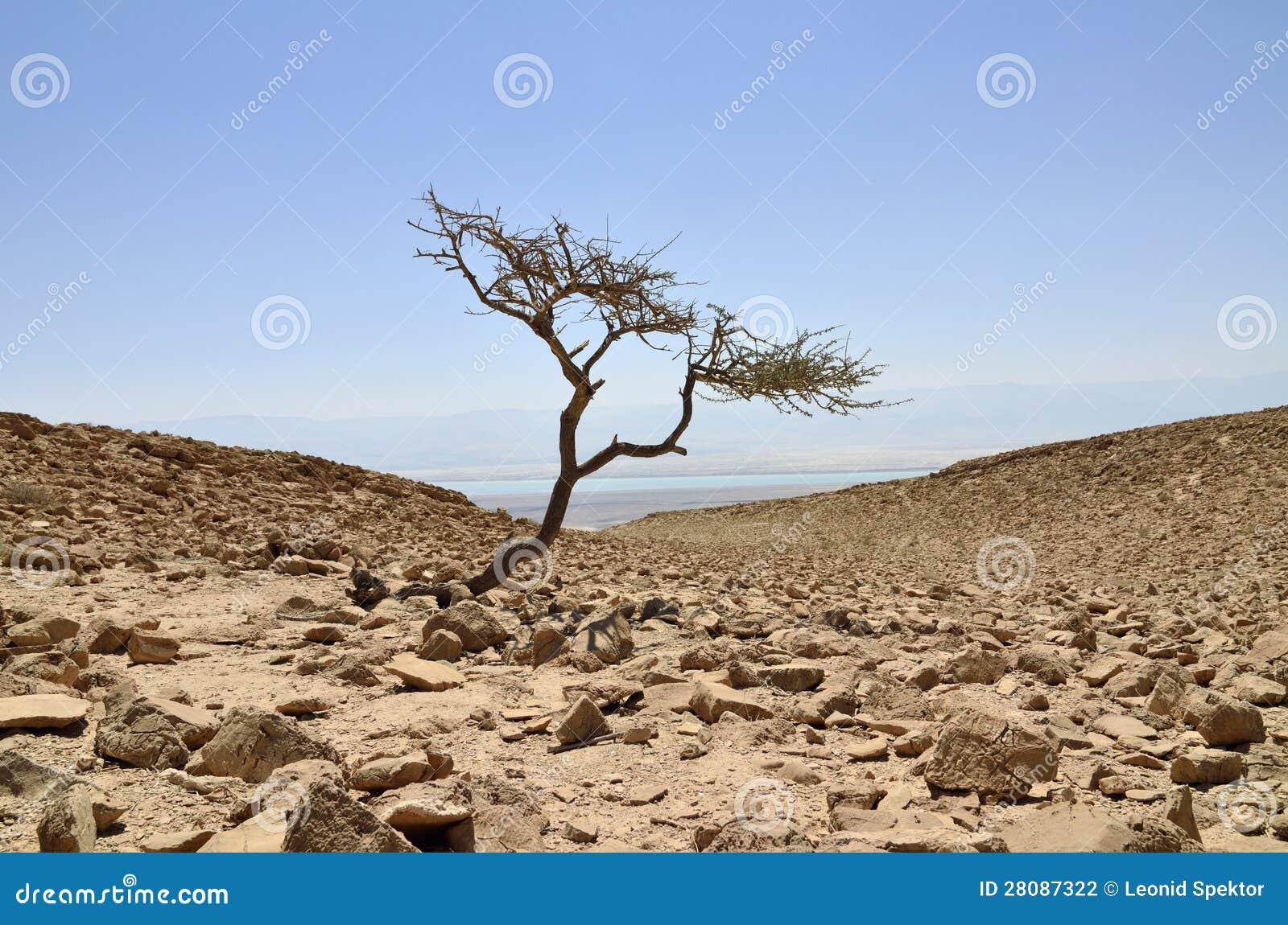 Árvore sozinha da acácia no deserto de Judea.