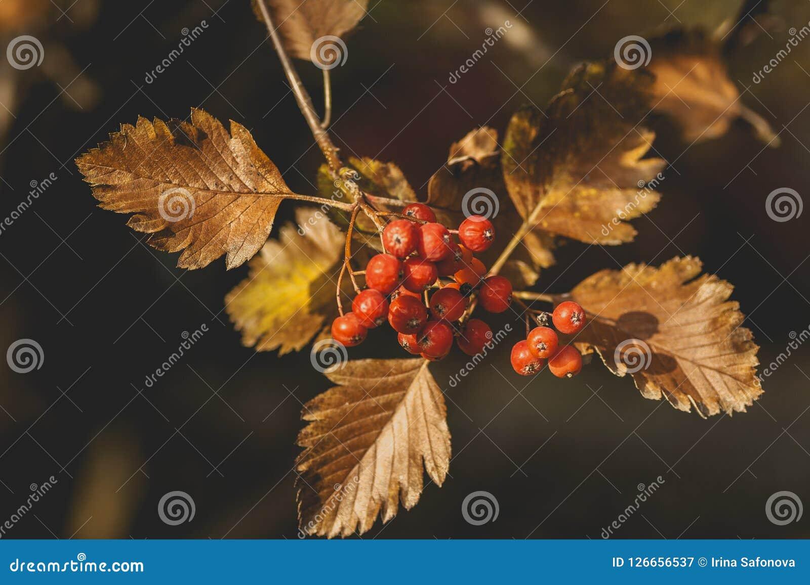 Árvore sueco da baga da cinza, foto do close up Bagas suculentas vermelhas maduras no parque do outono Berrie de Rowan Sorbus da