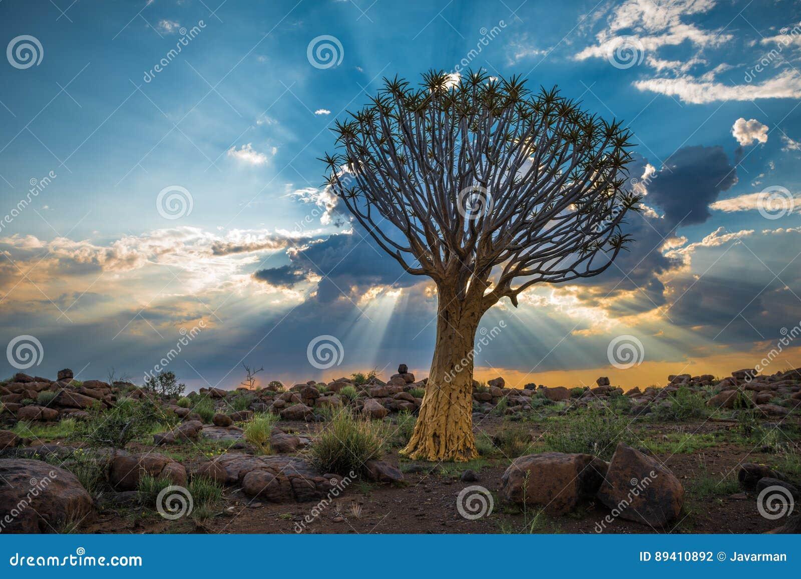 A árvore tremer, ou dichotoma do aloés, Keetmanshoop, Namíbia