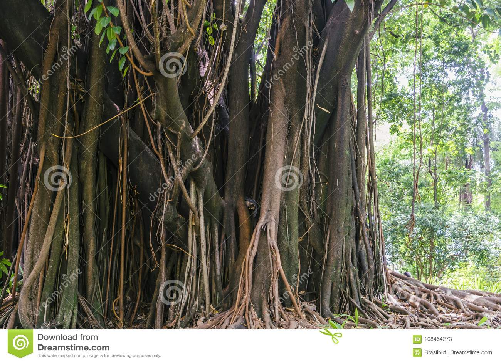 Árvore tropical maciça da floresta úmida em Brasil