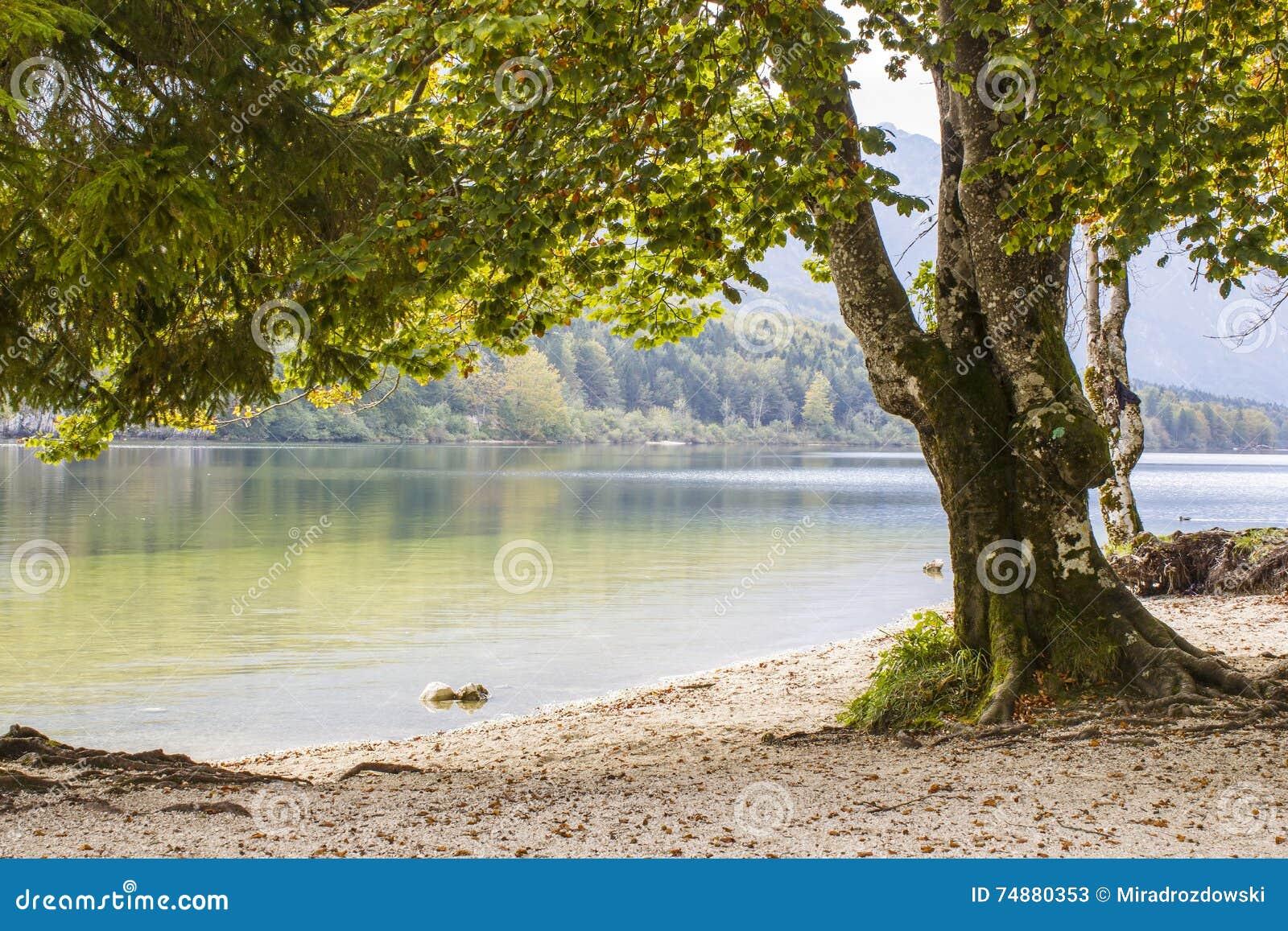 Árvore velha pelo lago Bohinj