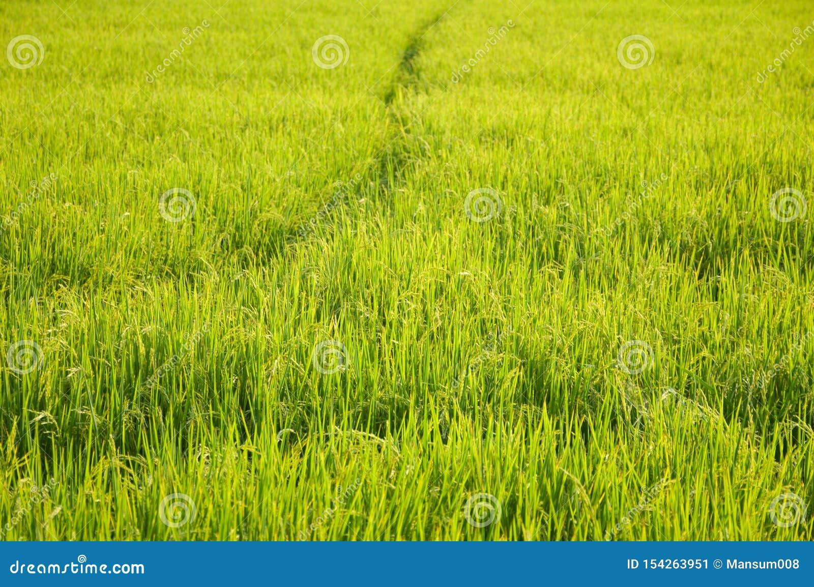 Árvore verde do arroz no país Chachoengsao Tailândia