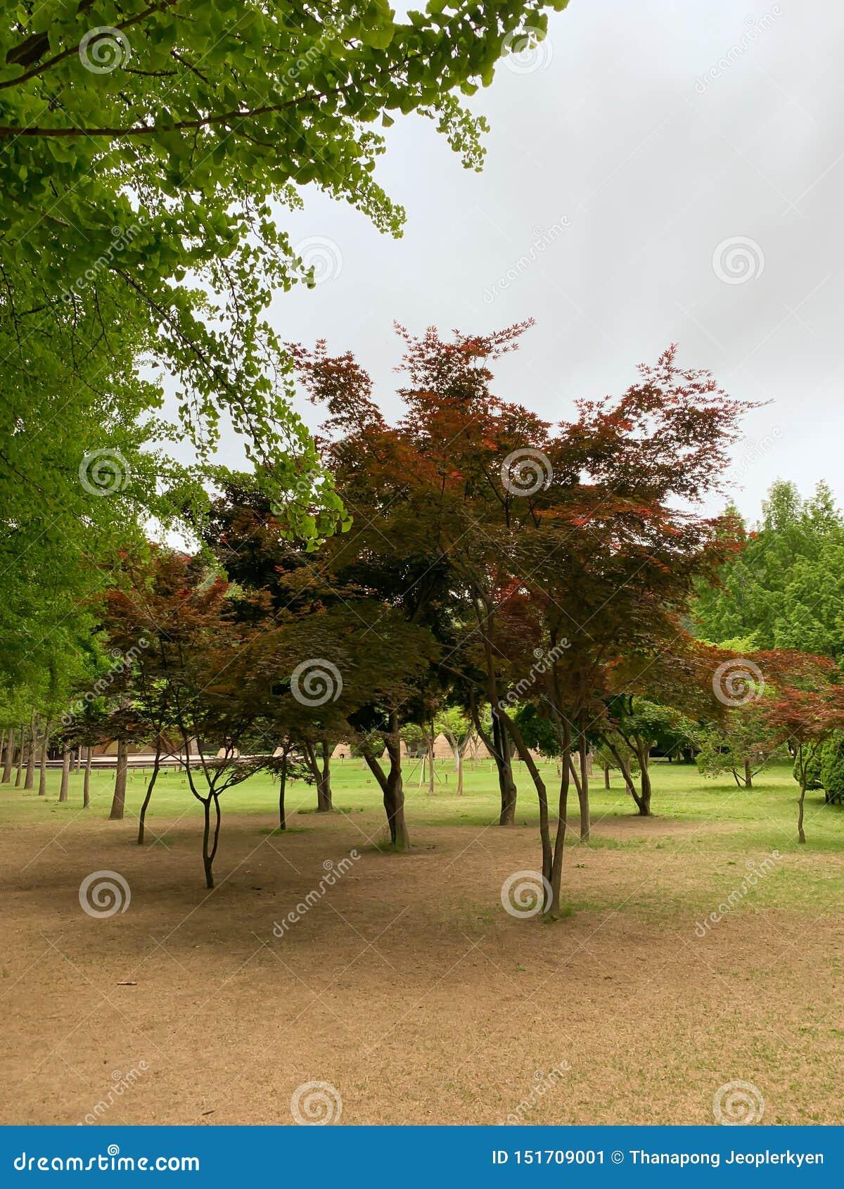 A árvore vermelha no parque