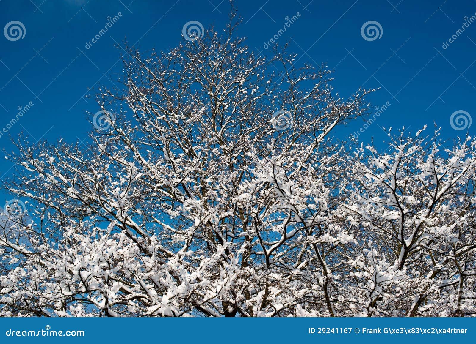 Download Árvores Cobertas Com A Neve Imagem de Stock - Imagem de naughty, congelado: 29241167