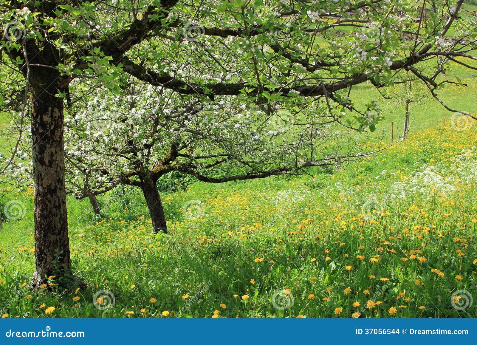 Árvores com a flor no prado completamente das flores na mola