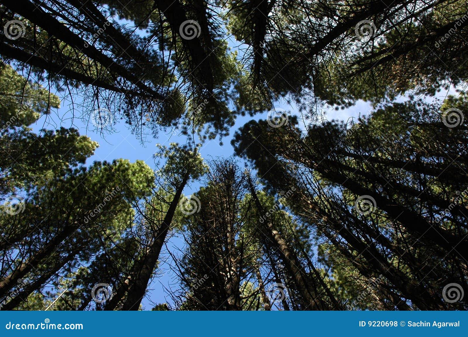 Árvores convergentes
