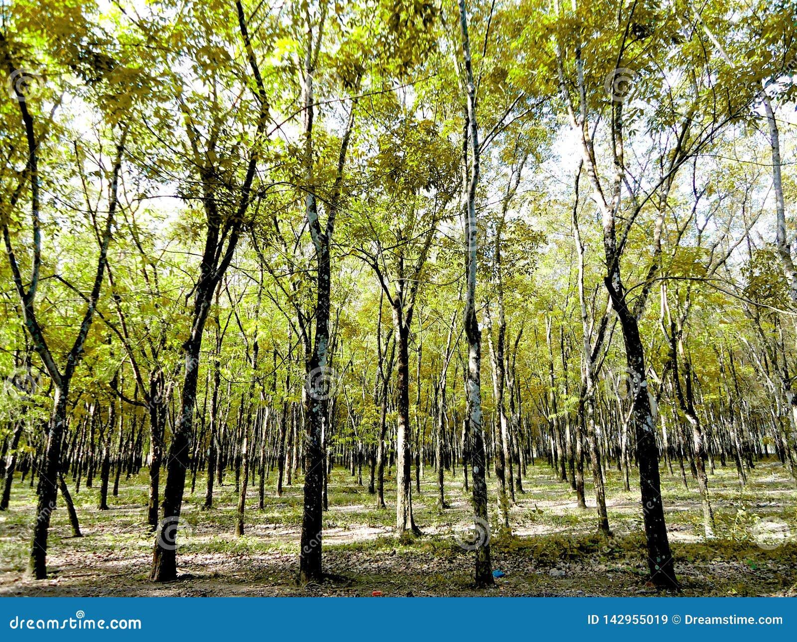Árvores da borracha, plantas industriais, plantas de longo-dia