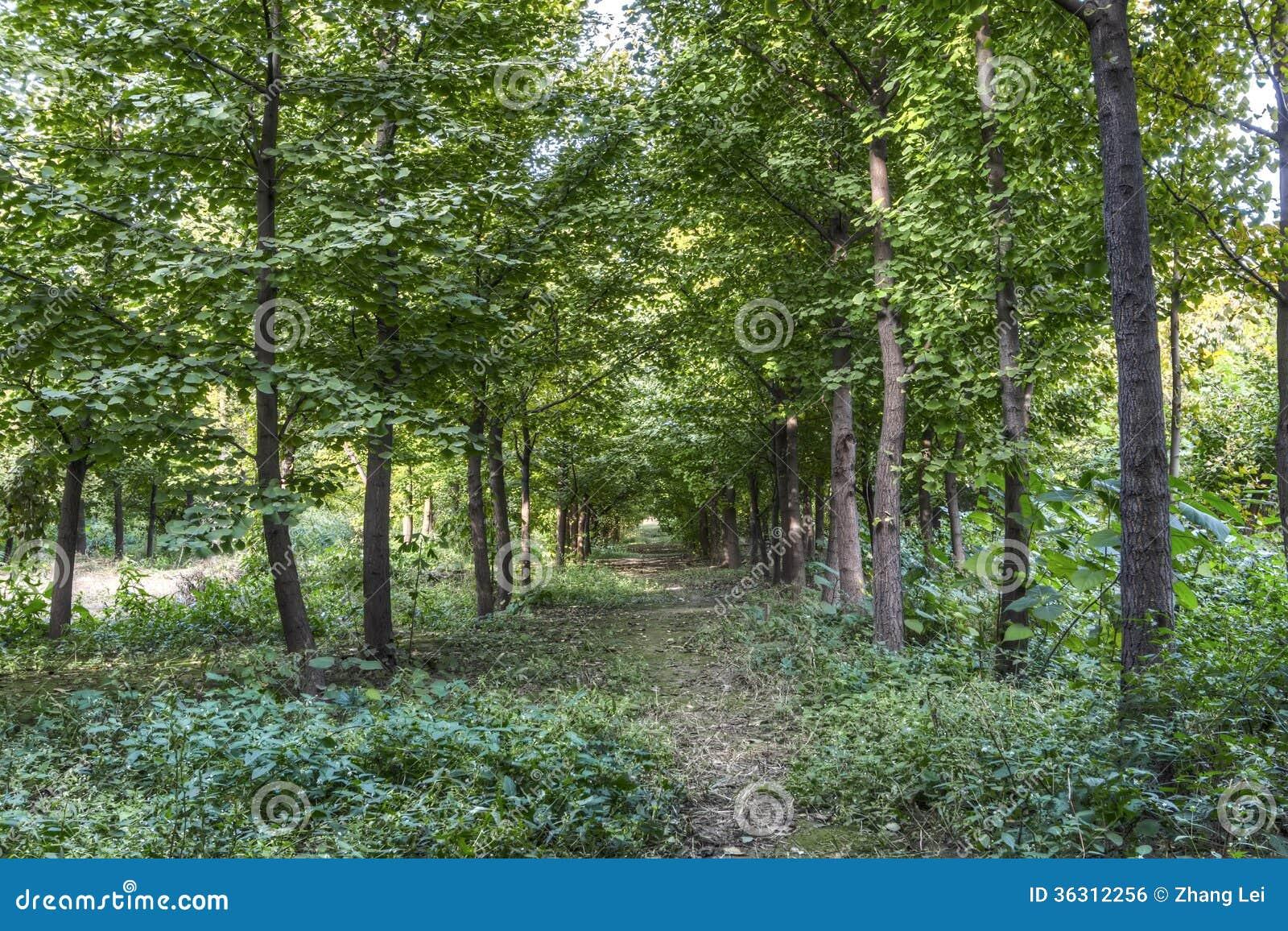 Árvores da nogueira-do-Japão