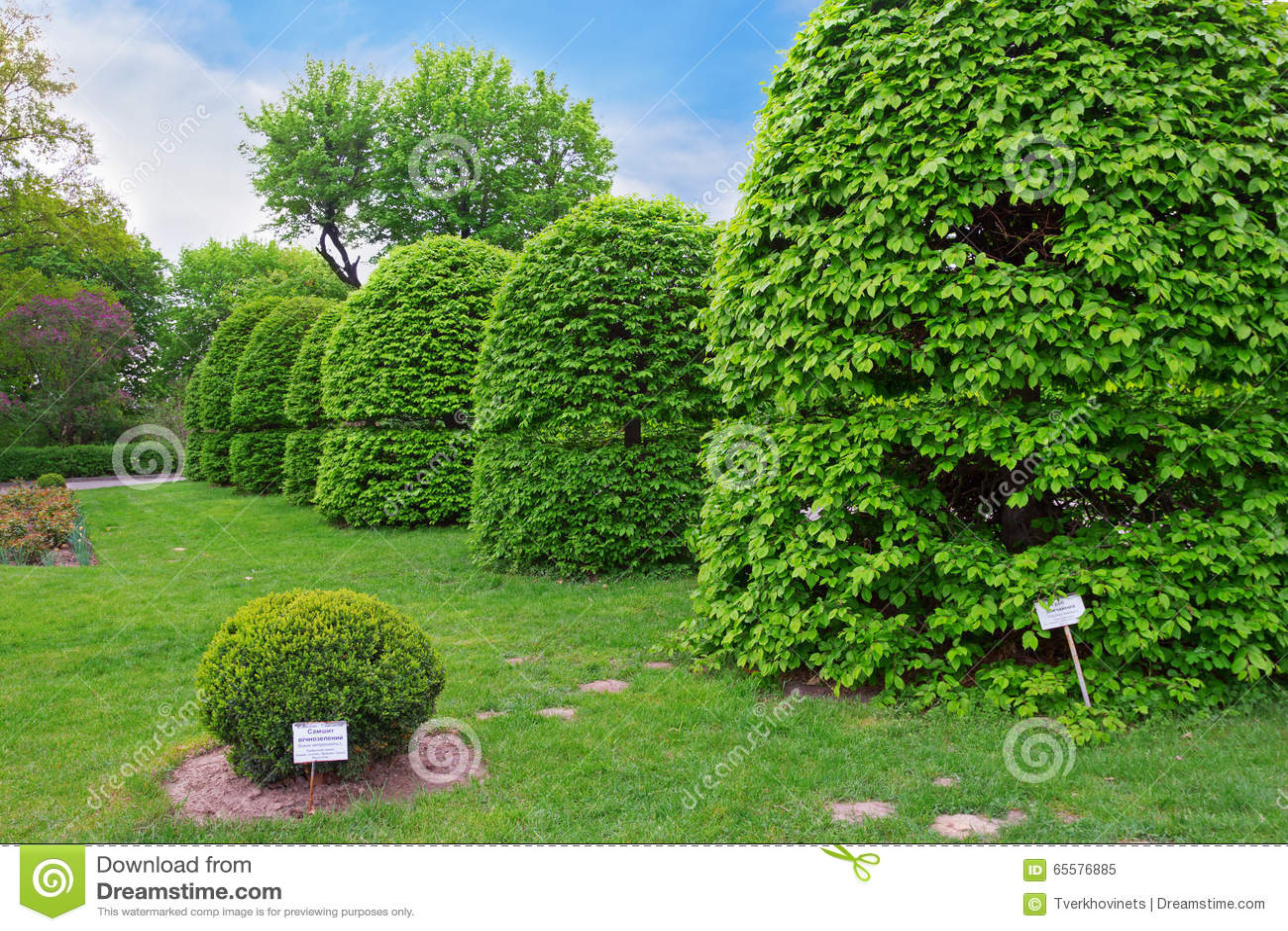 Árvores dadas forma do hornbeam