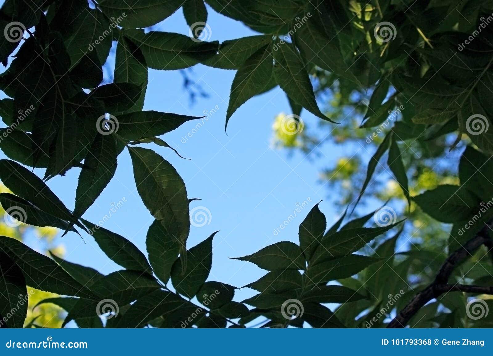 Árvores de álamo do guarda Campground, Zion
