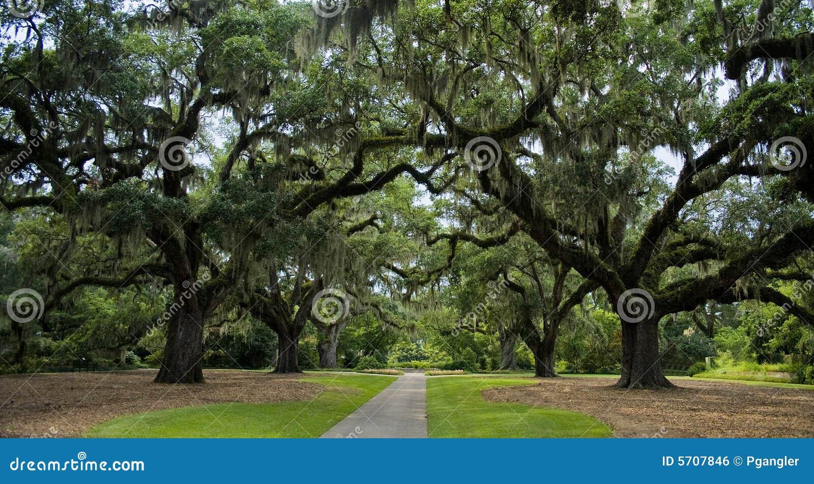 Árvores de carvalho velhas panorâmicos